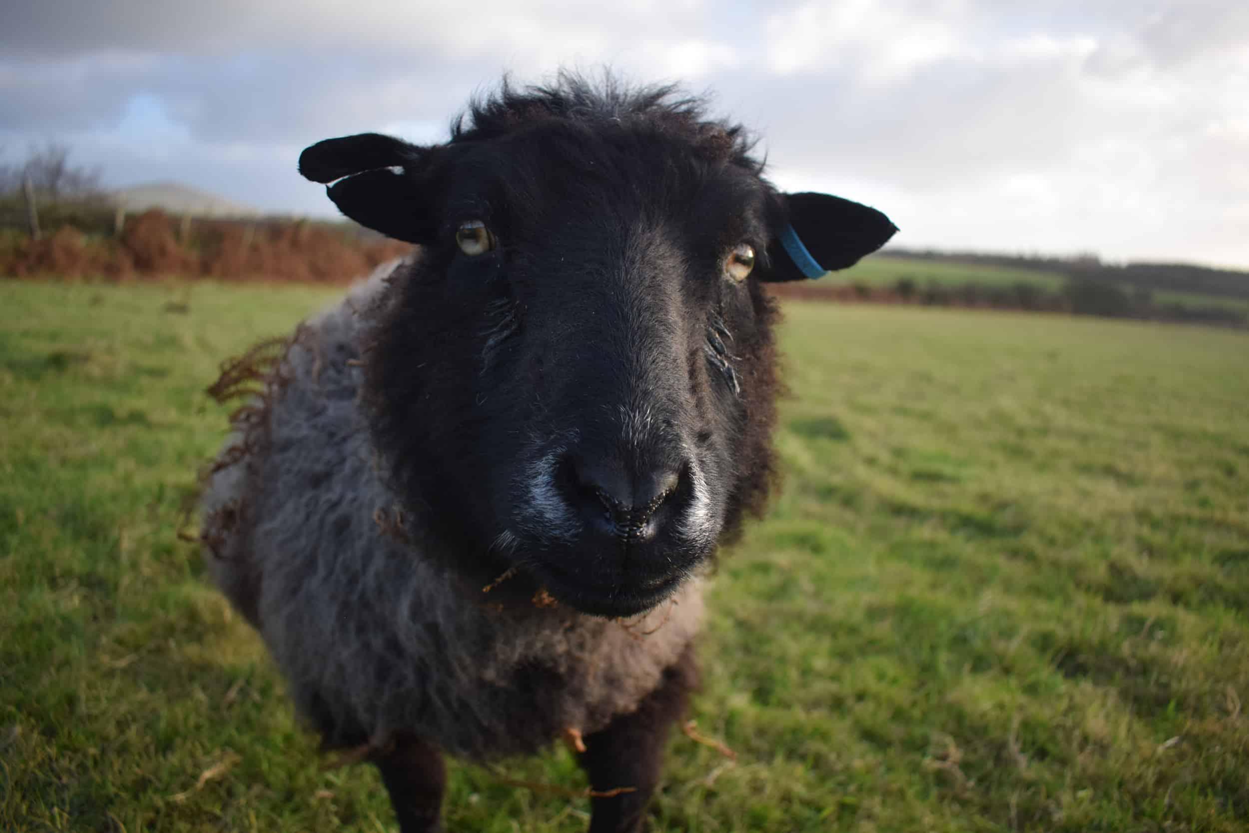 Currant black shetland sheep grandma kind fibre wool crafts