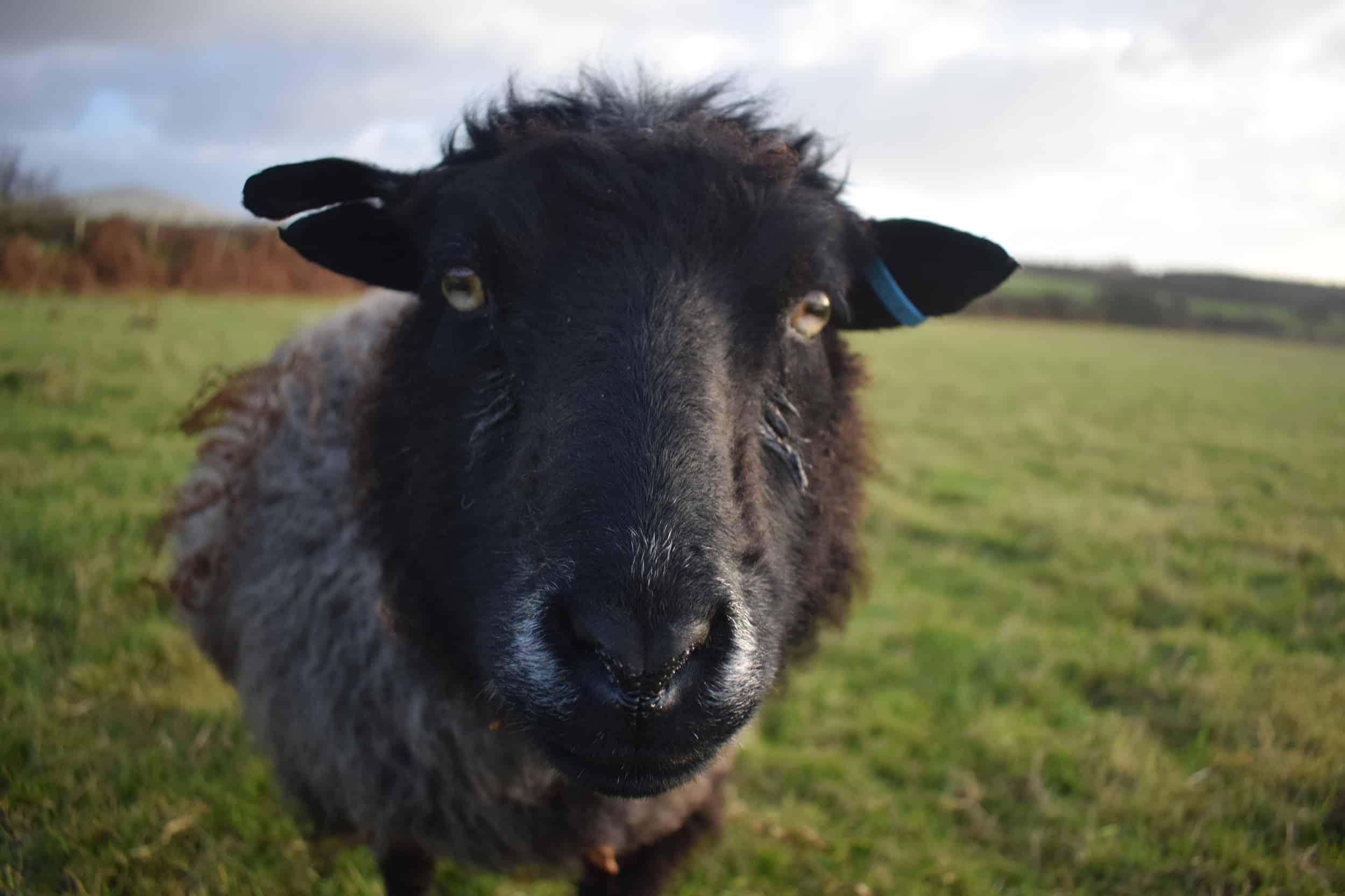 Currant black shetland sheep grandma kind fibre wool crafts 3