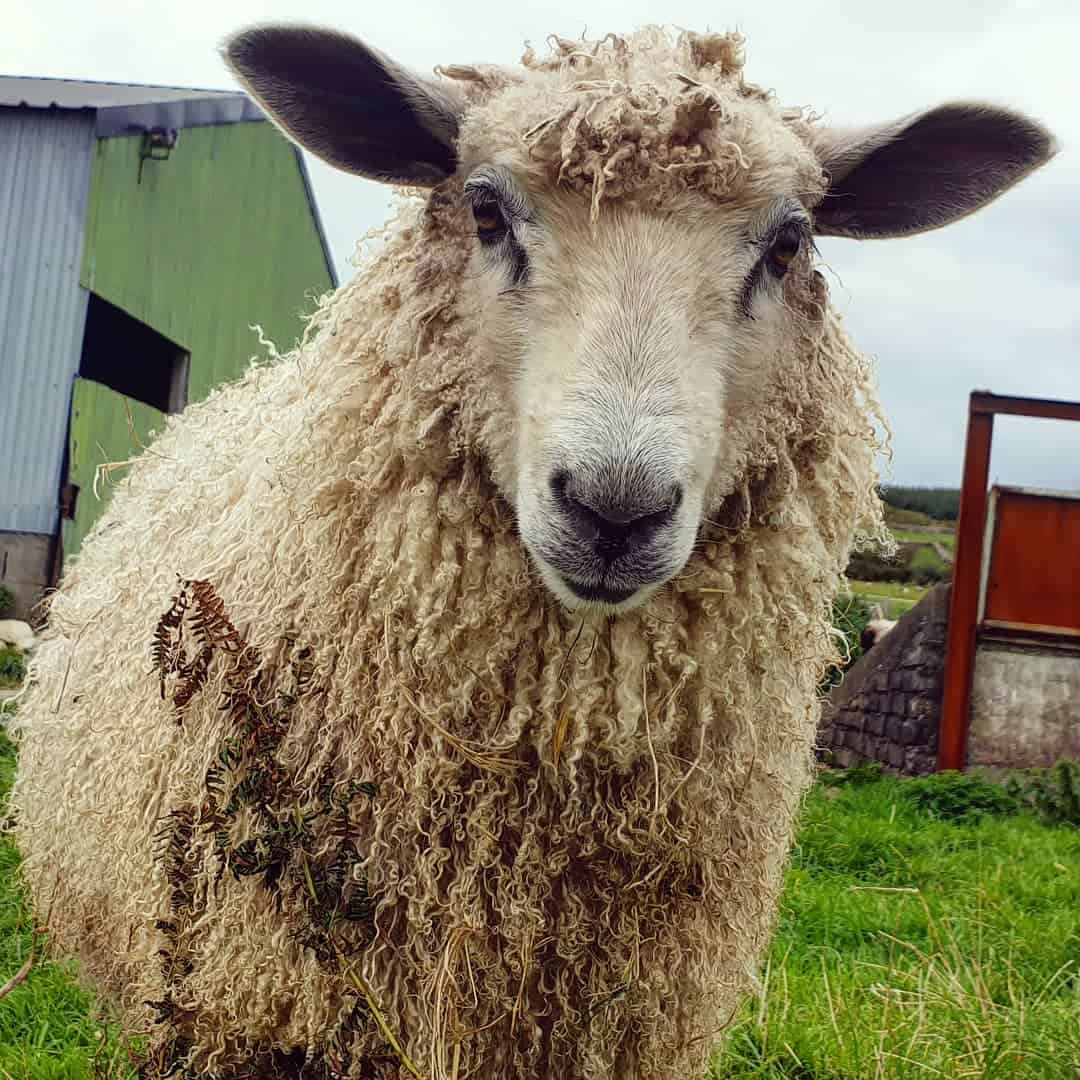 nymphadora sheep wensleydale cross icelandic sheep wool
