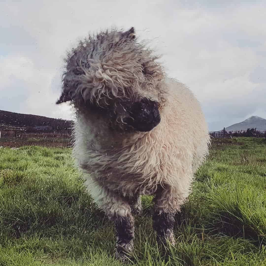 Nora valais blacknose greyface dartmoor pet sheep cuddle bear sheep patchworksheep crueltyfree felt rugs shake wet (2) (2)