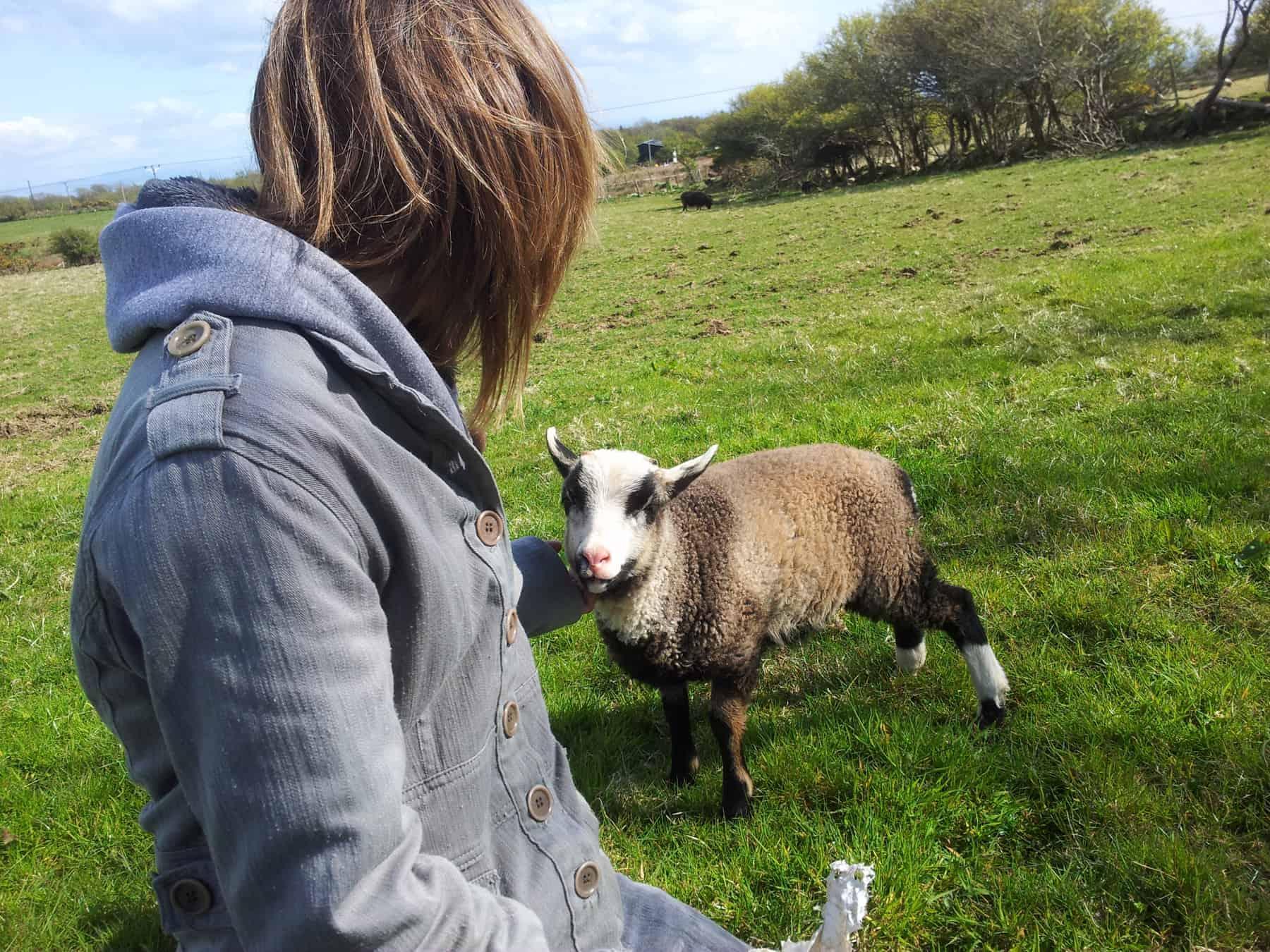 Poppy katmoget badgerface shetland cross jacob sheep lamb cute cuddles