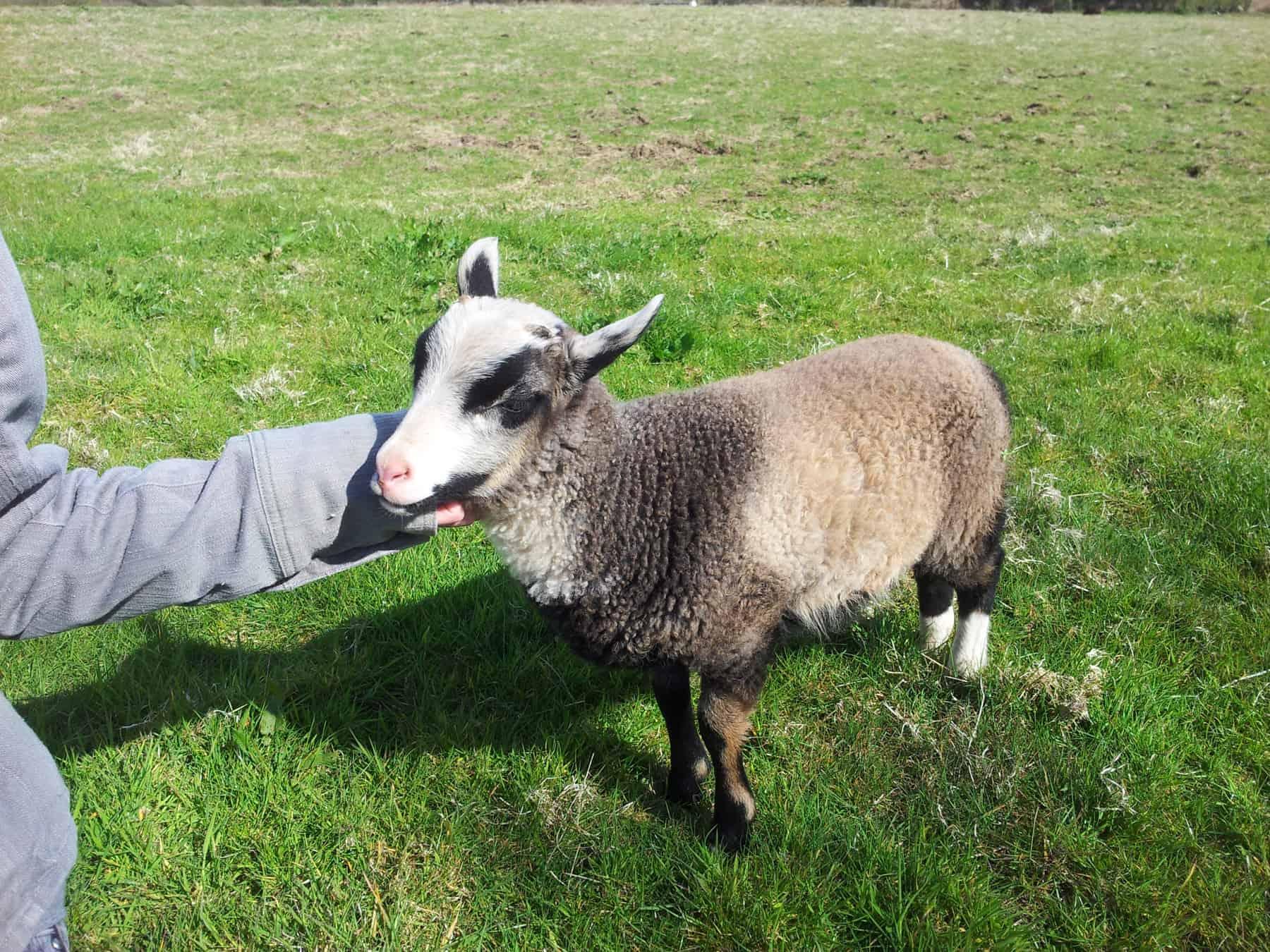 Poppy katmoget badgerface shetland cross jacob sheep lamb cute