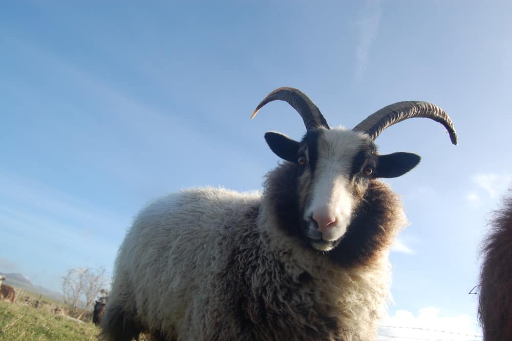 Poppy katmoget badgerface shetland cross jacob sheep beautiful