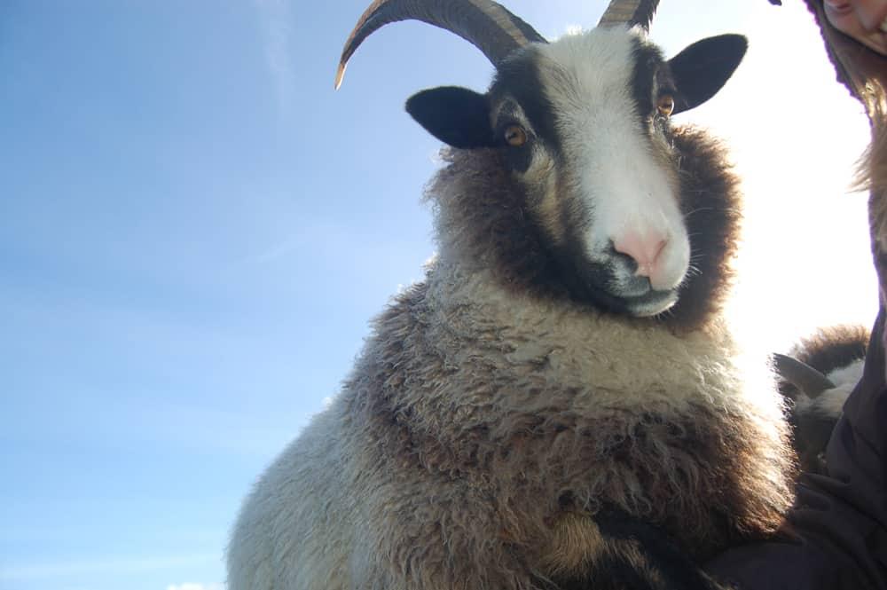 Poppy cheeky magnificent horns katmoget badgerface shetland cross jacob sheep lamb cute