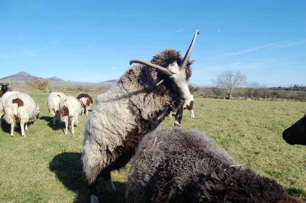 Poppy sheep horns jumping playing