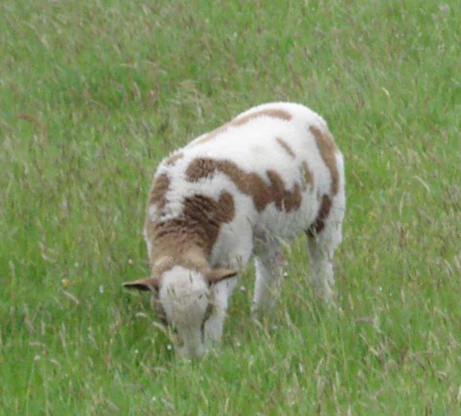 Muffn lamb spots patchwork sheep moorit brown spotted jacob sheep shetland sheep