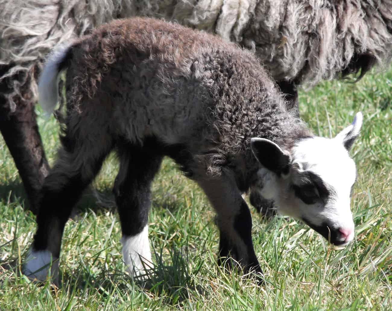 Poppy katmoget badgerface shetland cross jacob sheep lamb cute newborn