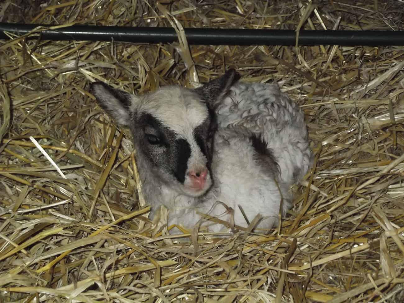 patchwork sheep newborn lamb soay cross shetland spotted ewe Fern