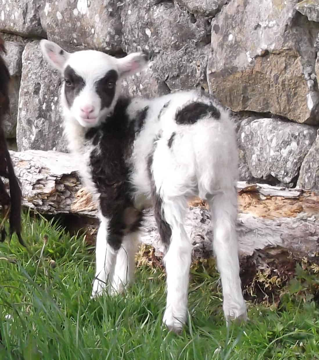 patchwork sheep soay cross shetland spotted sheep Sweep lamb