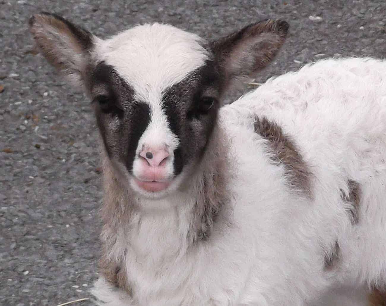 patchwork sheep soay cross shetland spotted ewe Fern lamb cute