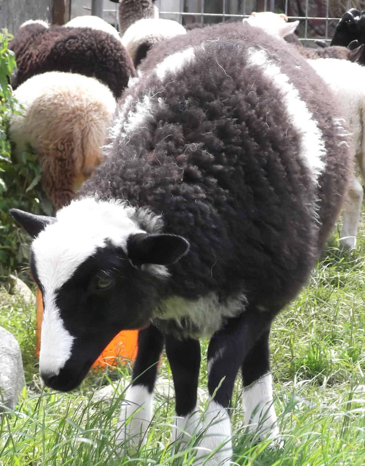 Holly pet lamb sheep jacob cross shetland spotted black grey white wales gwynedd kids farm life lamb