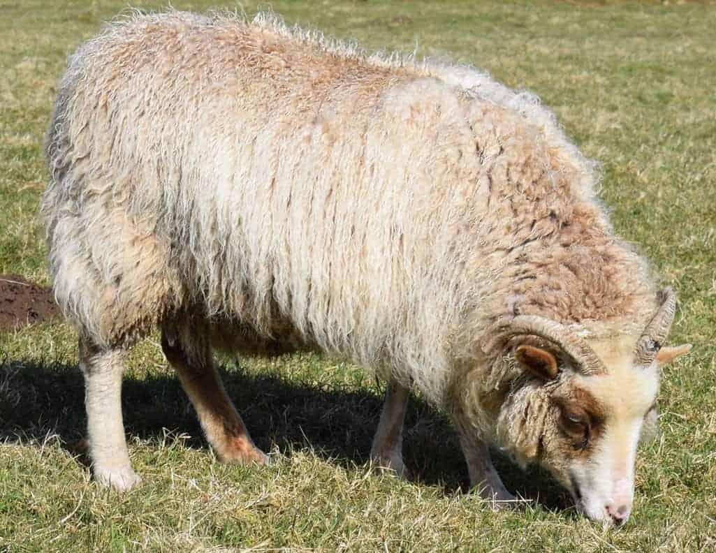 Martha patchwork sheep