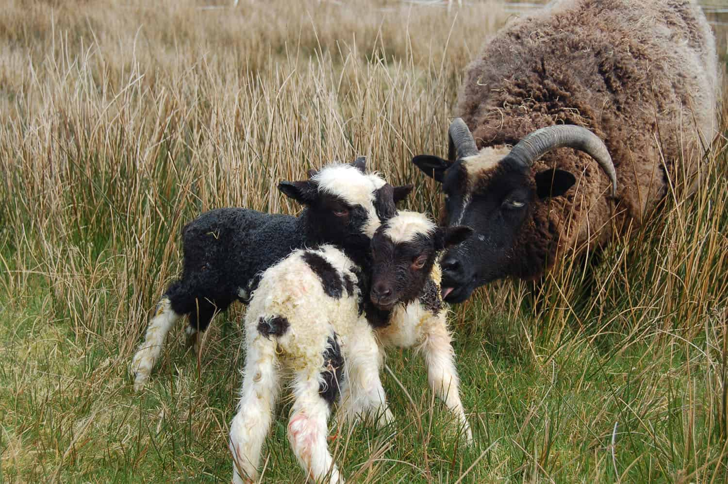 Minnie jacob cross shetland sheep patchwork sheep kind fibre wool triplet ewe lambs