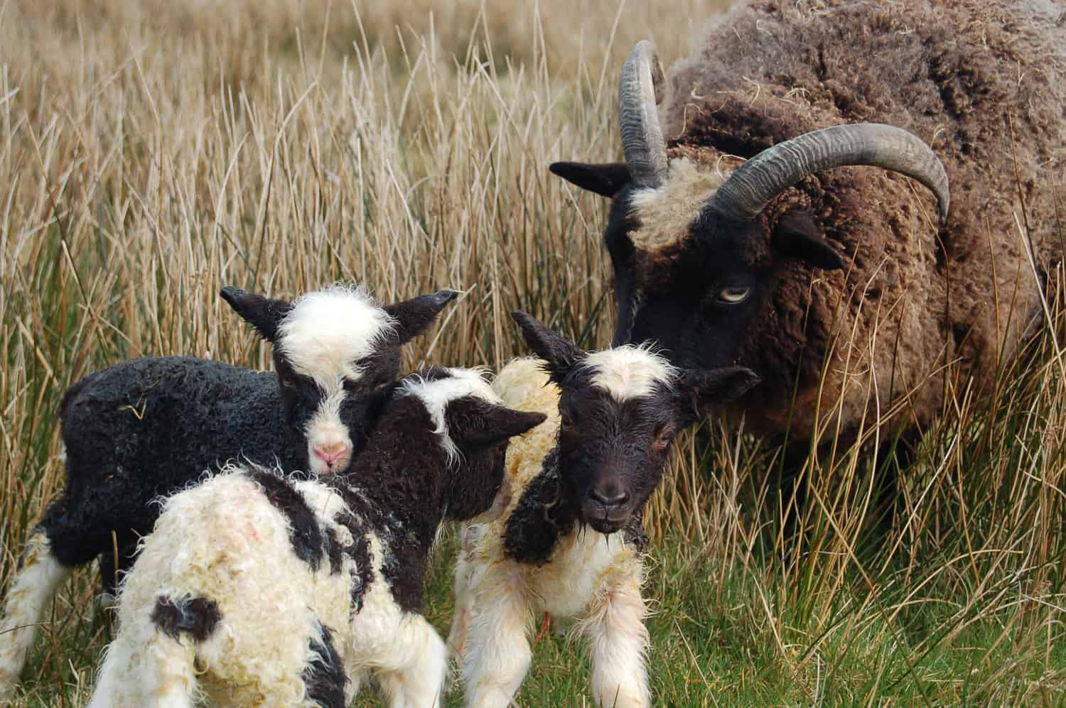 Minnie jacob cross shetland sheep patchwork sheep kind fibre wool moorit spotted triplet lambs