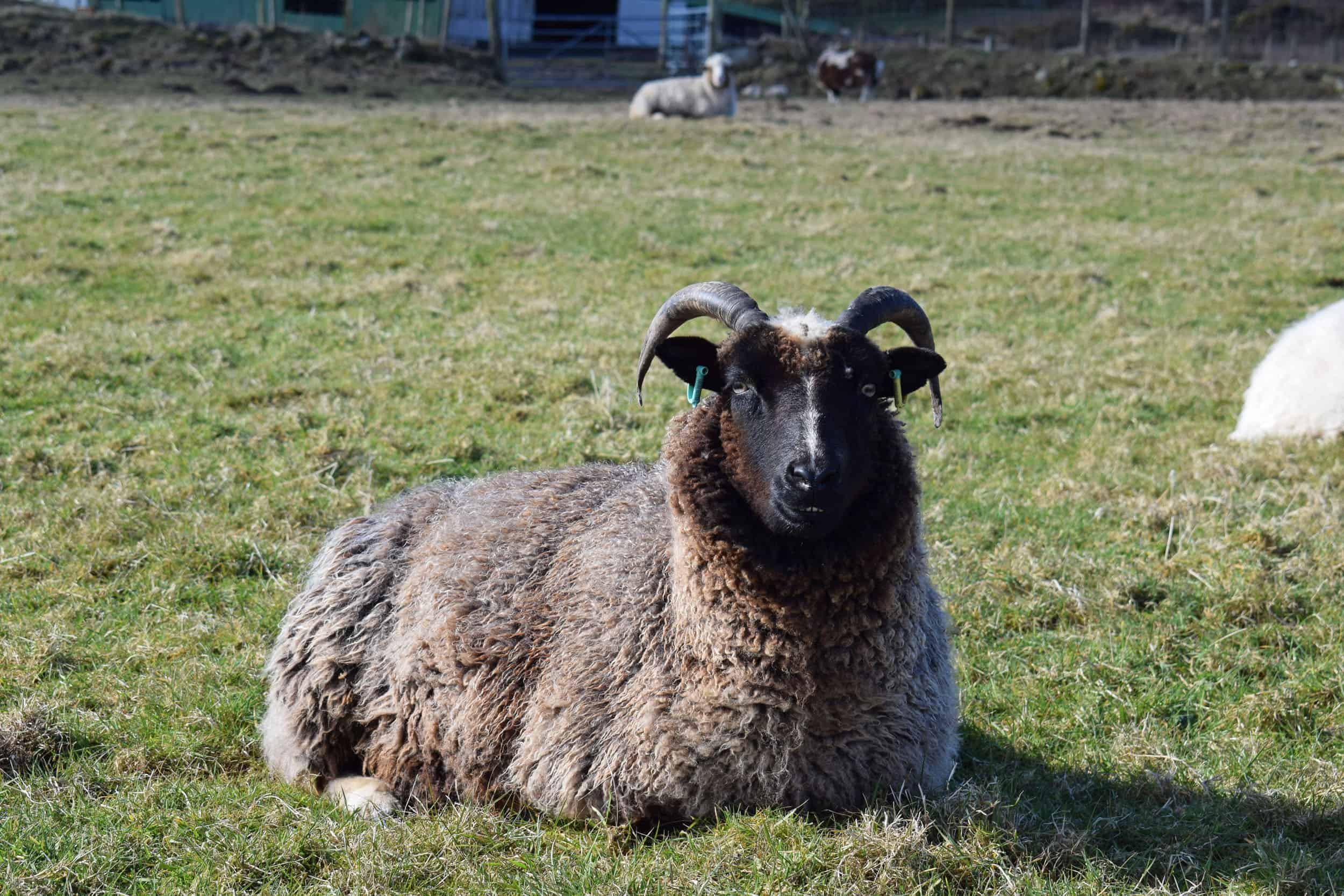 Minnie jacob cross shetland sheep patchwork sheep kind fibre