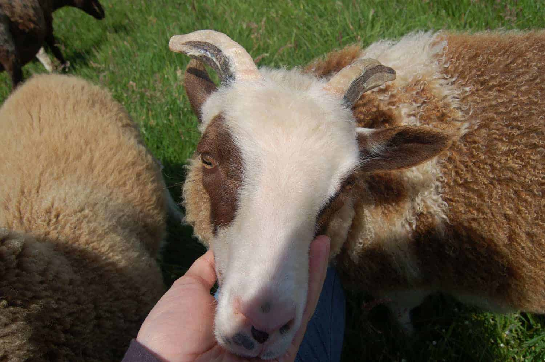 Martha lamb pet sheep patchwork sheep moorit white spotted brown primitive sheep crossbreed