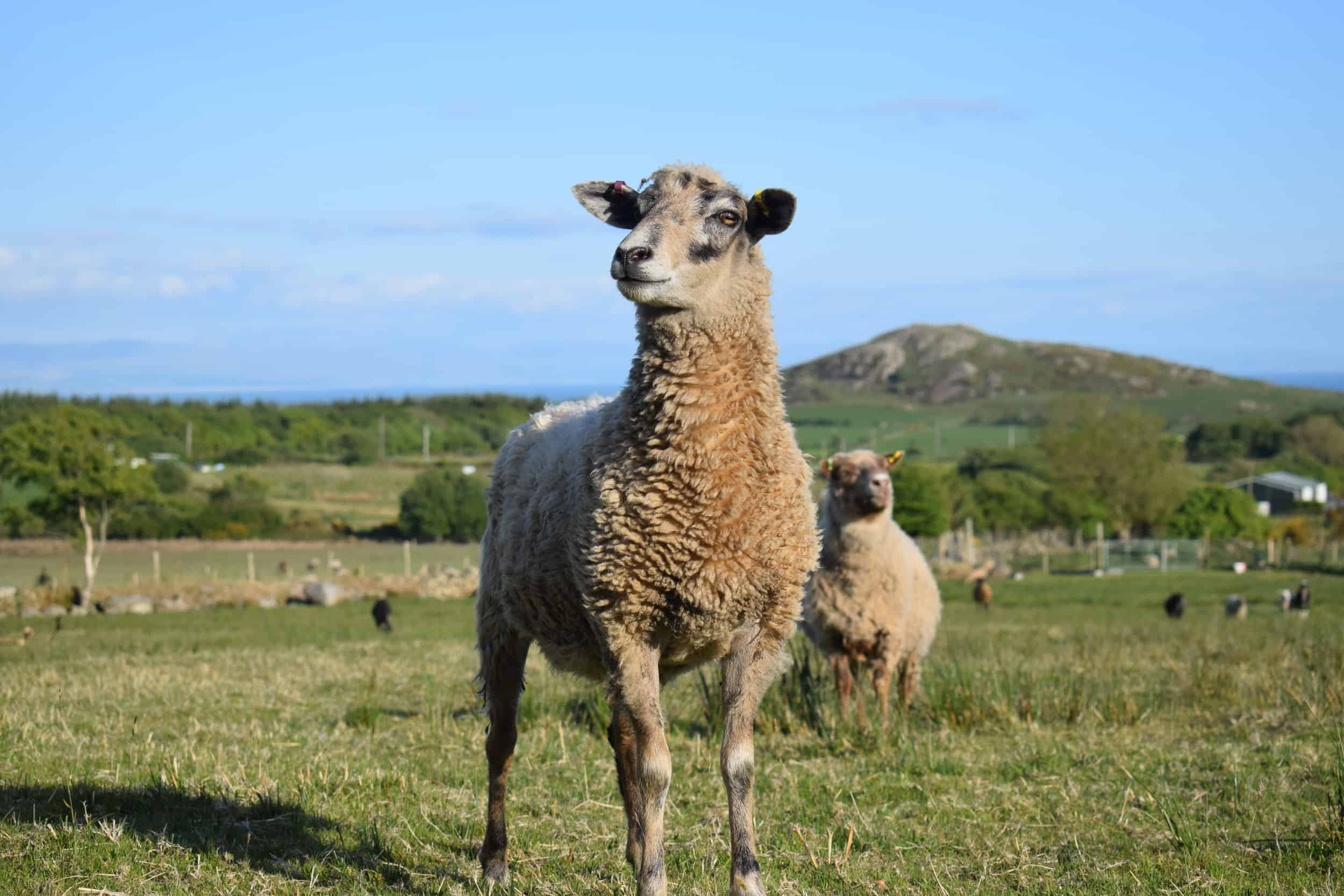 jemima crossbreed sheep beautiful ewe coloured leicester longwool cross gotland shetland sheep 2
