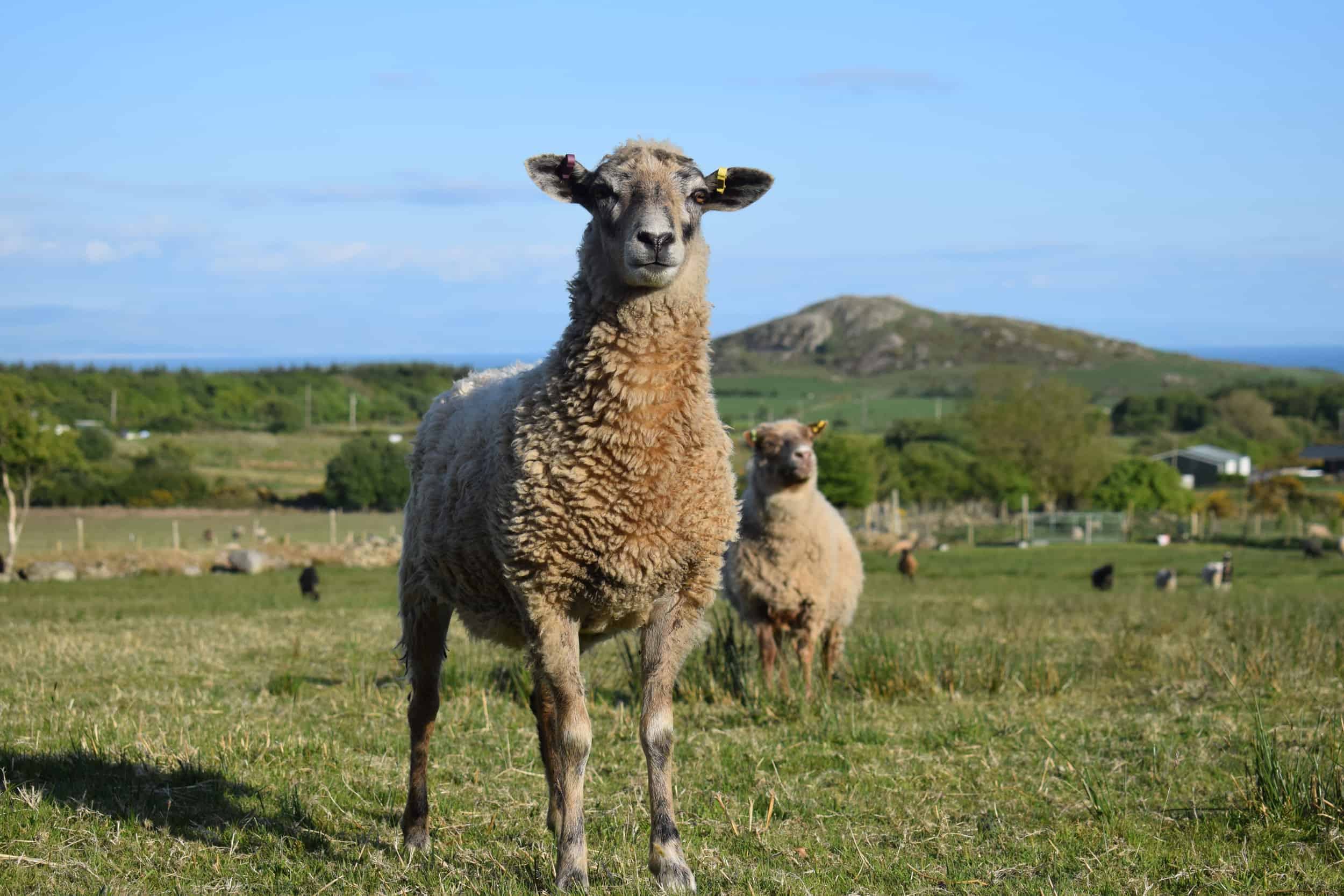 jemima crossbreed sheep beautiful ewe coloured leicester longwool cross gotland shetland sheep