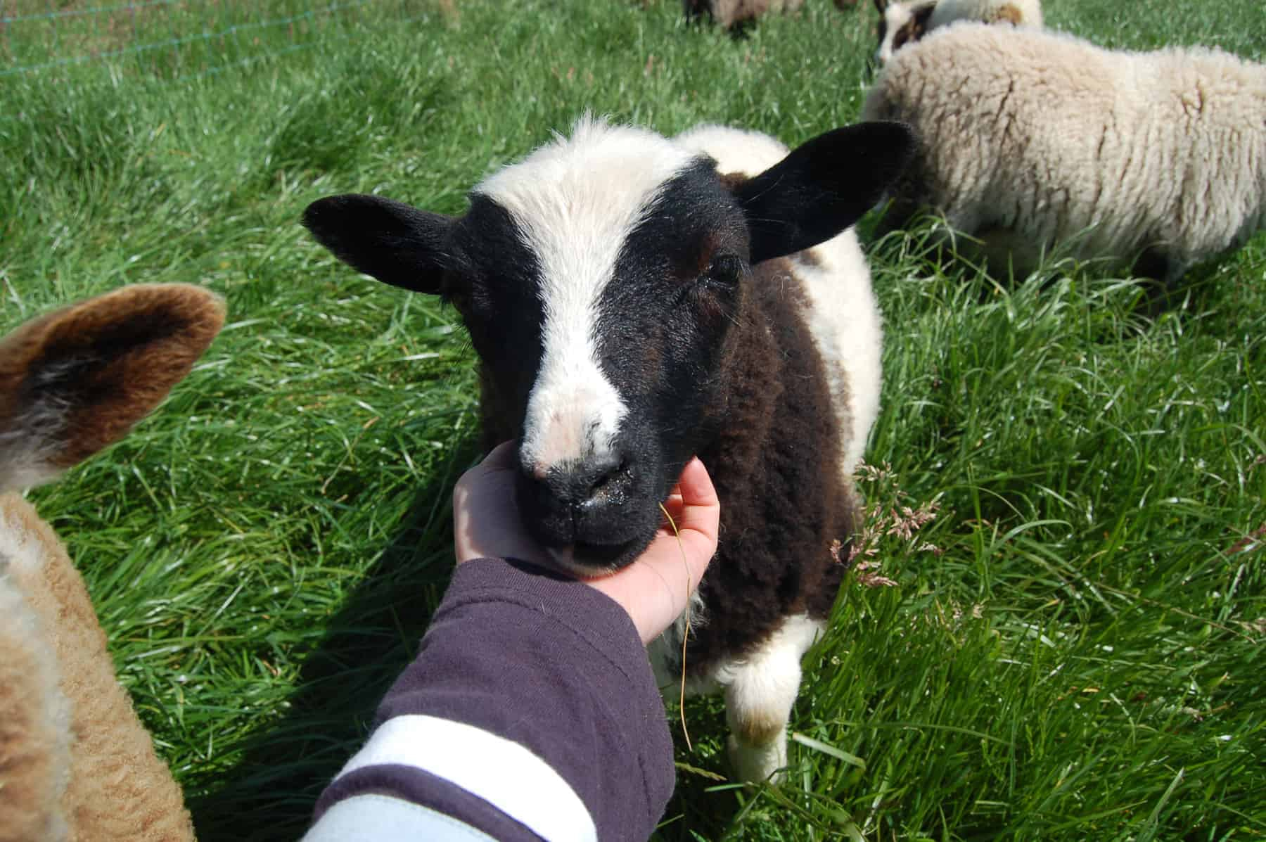 patchwork sheep phlox shearling black white soay shetland jacob cross sheep 3