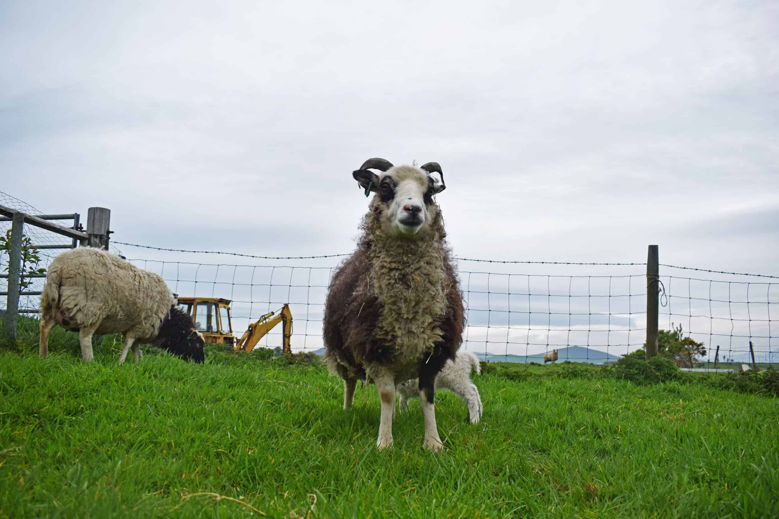 patchwork sheep blossom soay cross shetland sheep sustainable british wool
