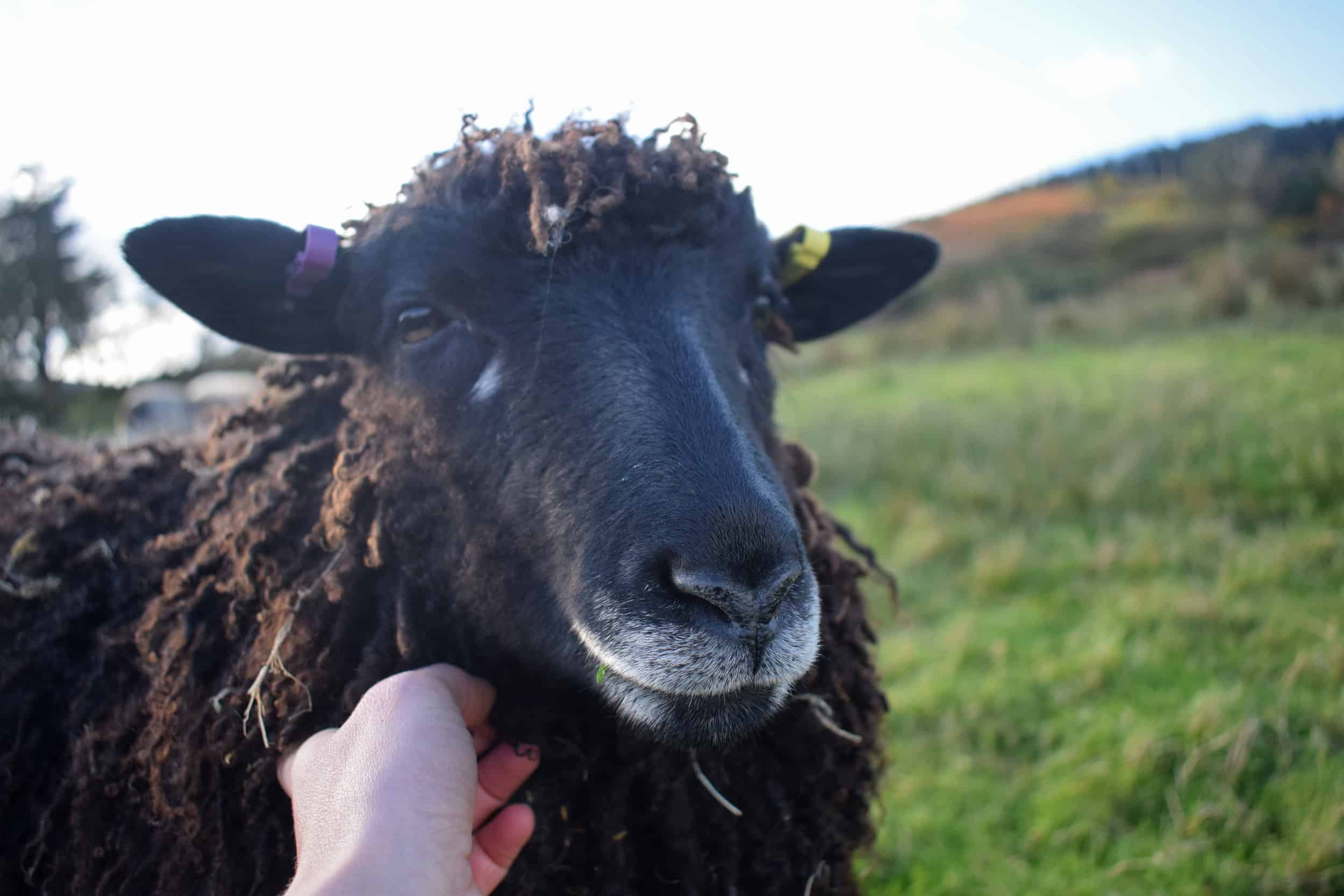 Tatty longwool lamb races coloured leicester longwool shetland gotland sheep ewe lamb kind fibre sheep frendly ethical wool products cross pet