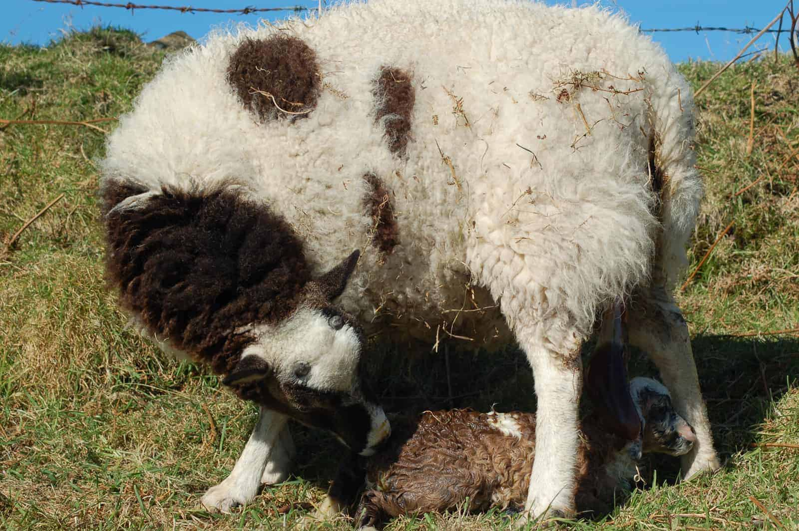 patchwork sheep lambing soay cross shetland spotted ewe Fern