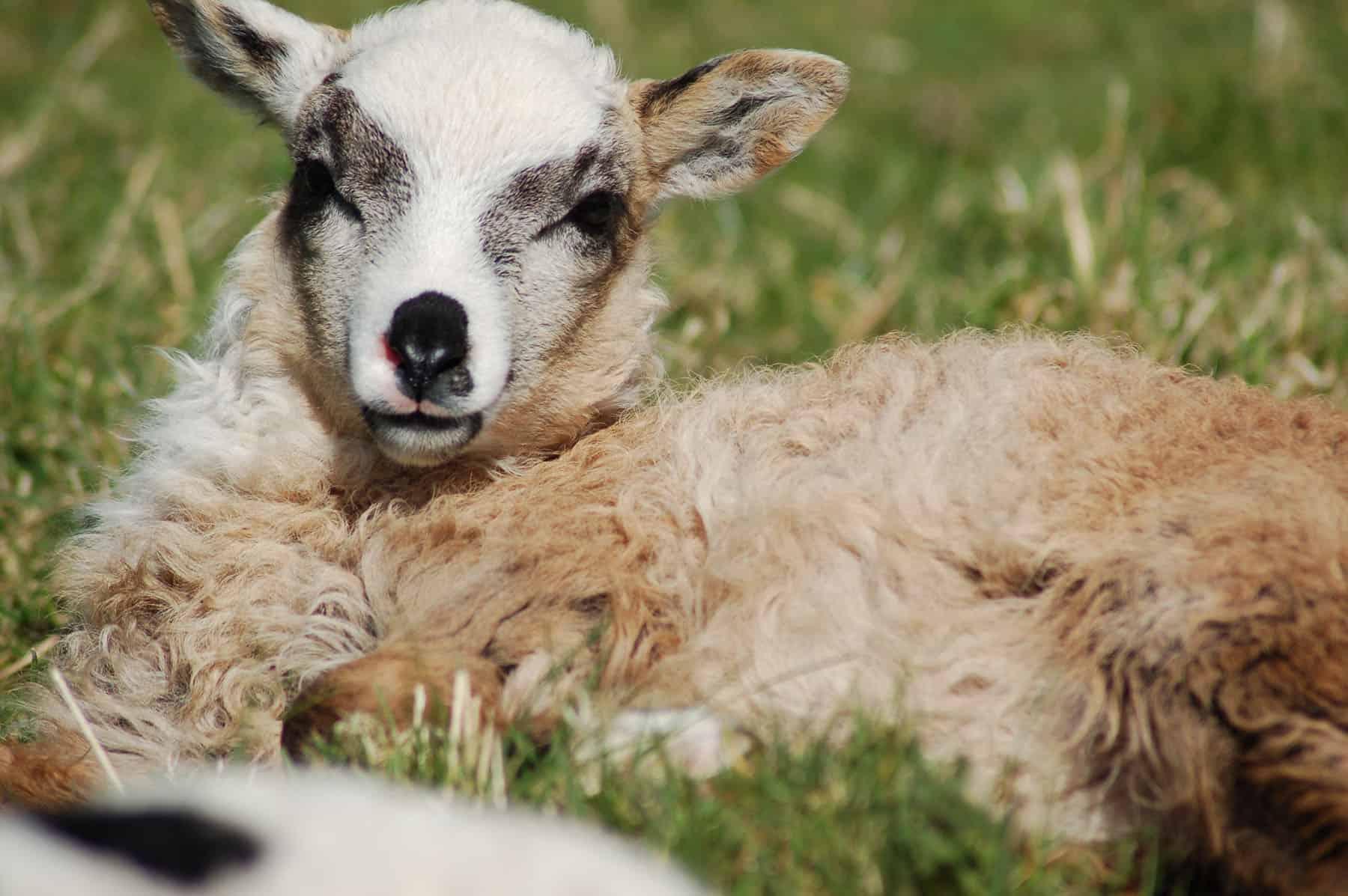 patchwork sheep beautiful smudge cute lamb golden soay cross shetland jacob sheep