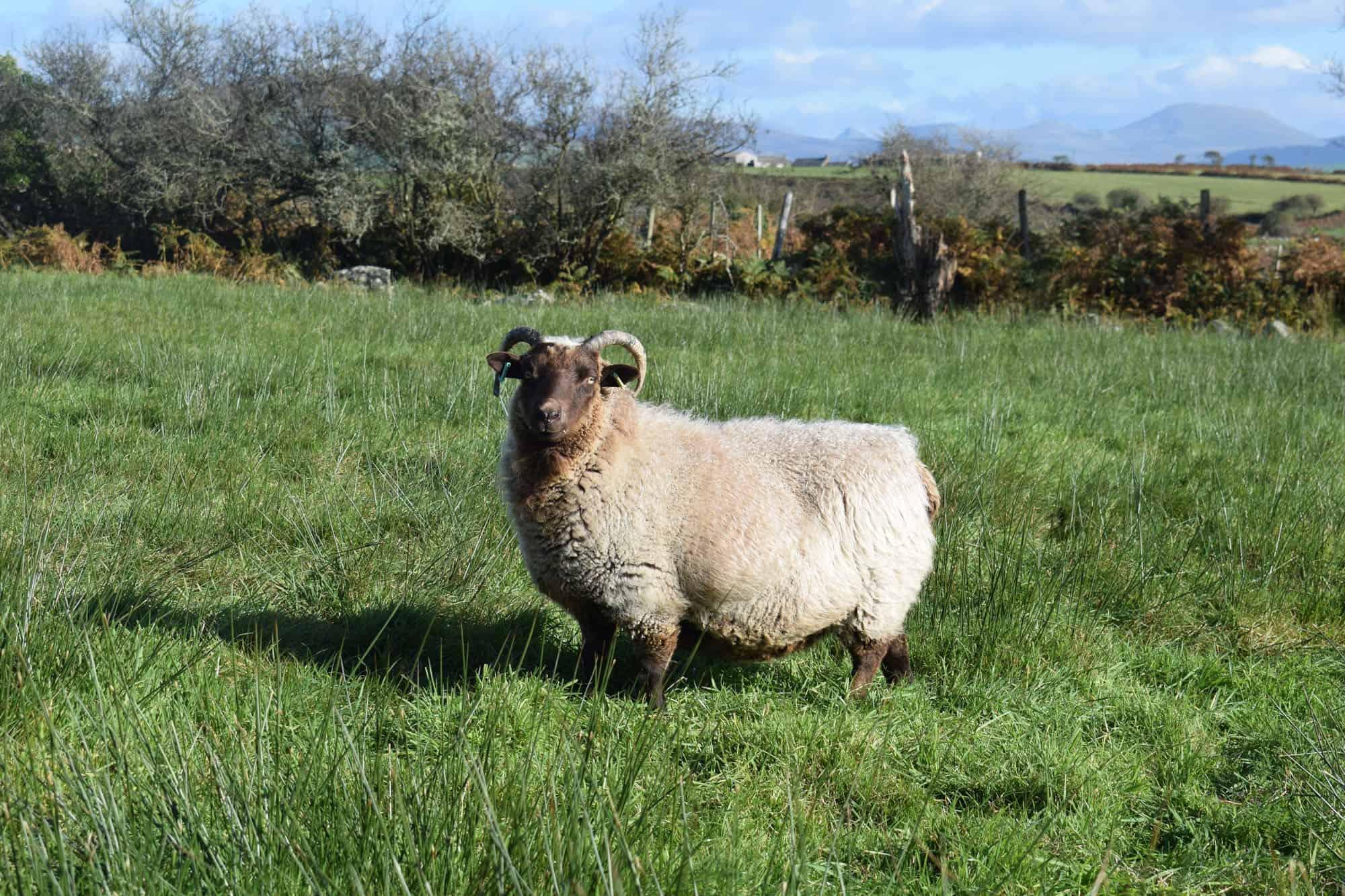 Harriet moorit brown sheep jacob cross shetland