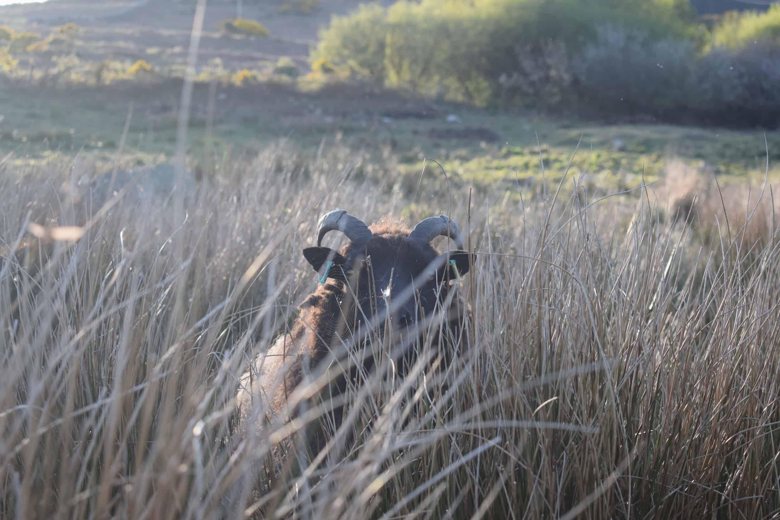 Magic cobweb rushes peeping sheep jacob cross shetland magical patchwork sheep