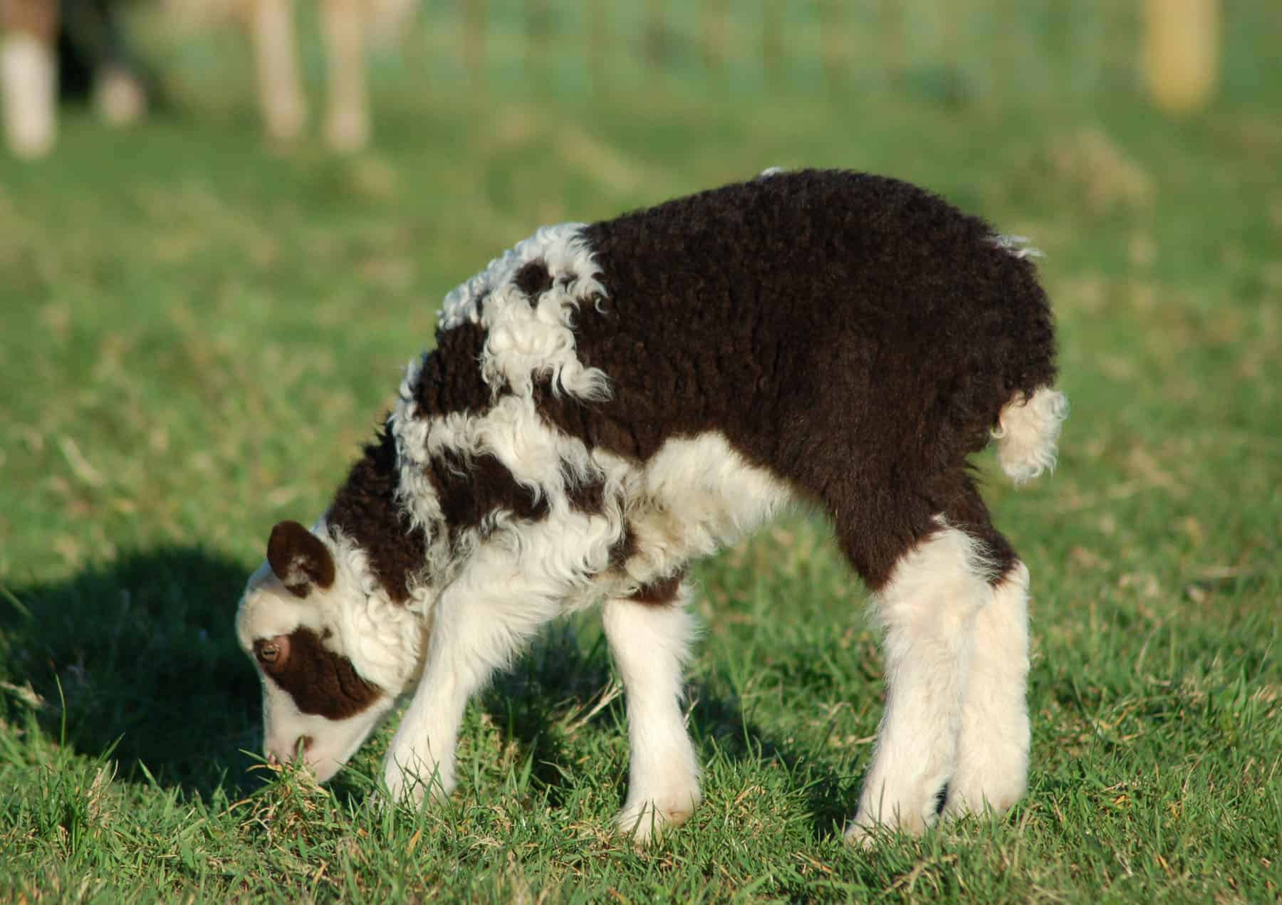 Martha markings patchwork sheep moorit white spotted brown primitive sheep crossbreed