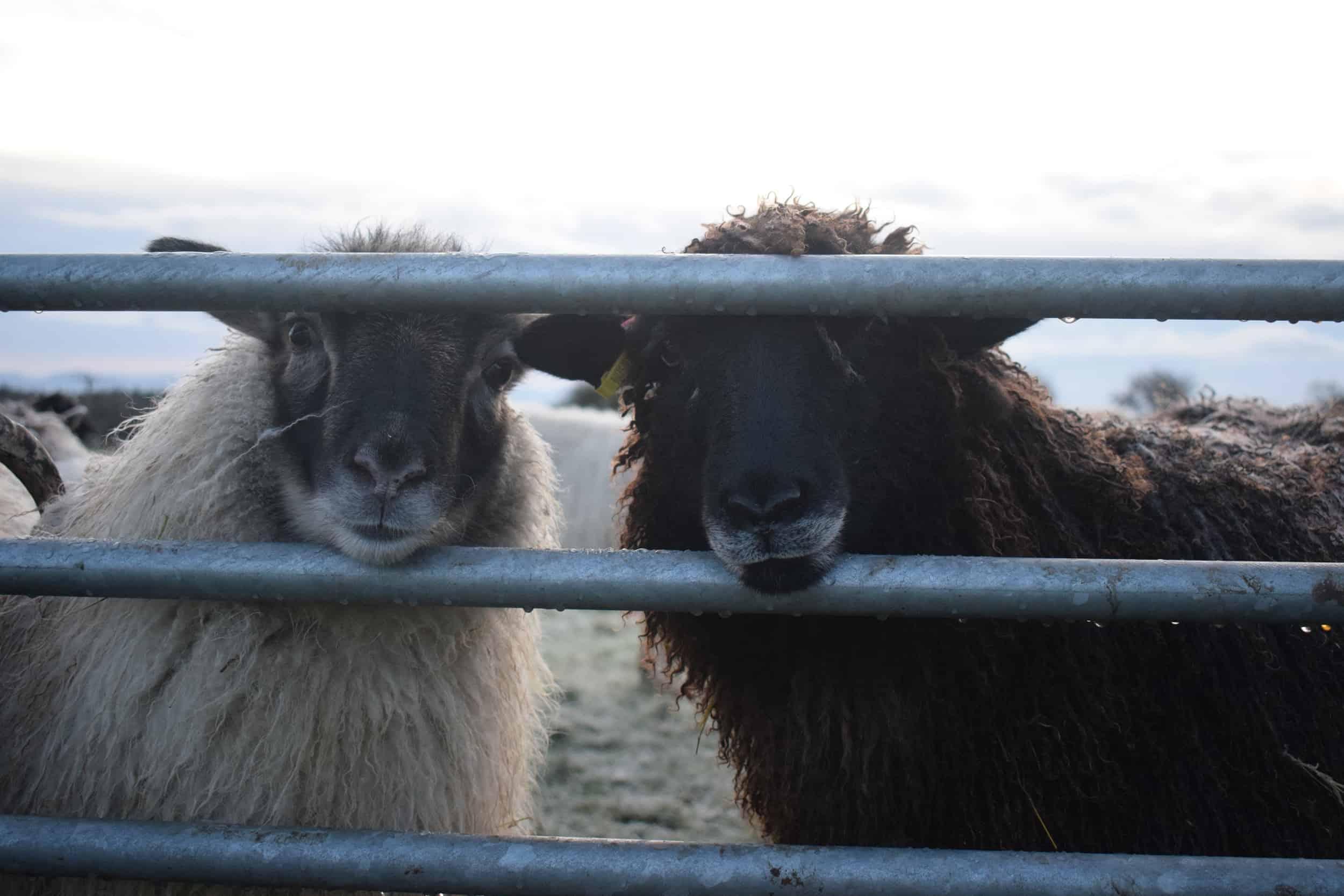 Jasmine longwool lamb races coloured leicester longwool shetland gotland sheep ewe lamb kind fibre sheep frendly ethical wool products cross frosty