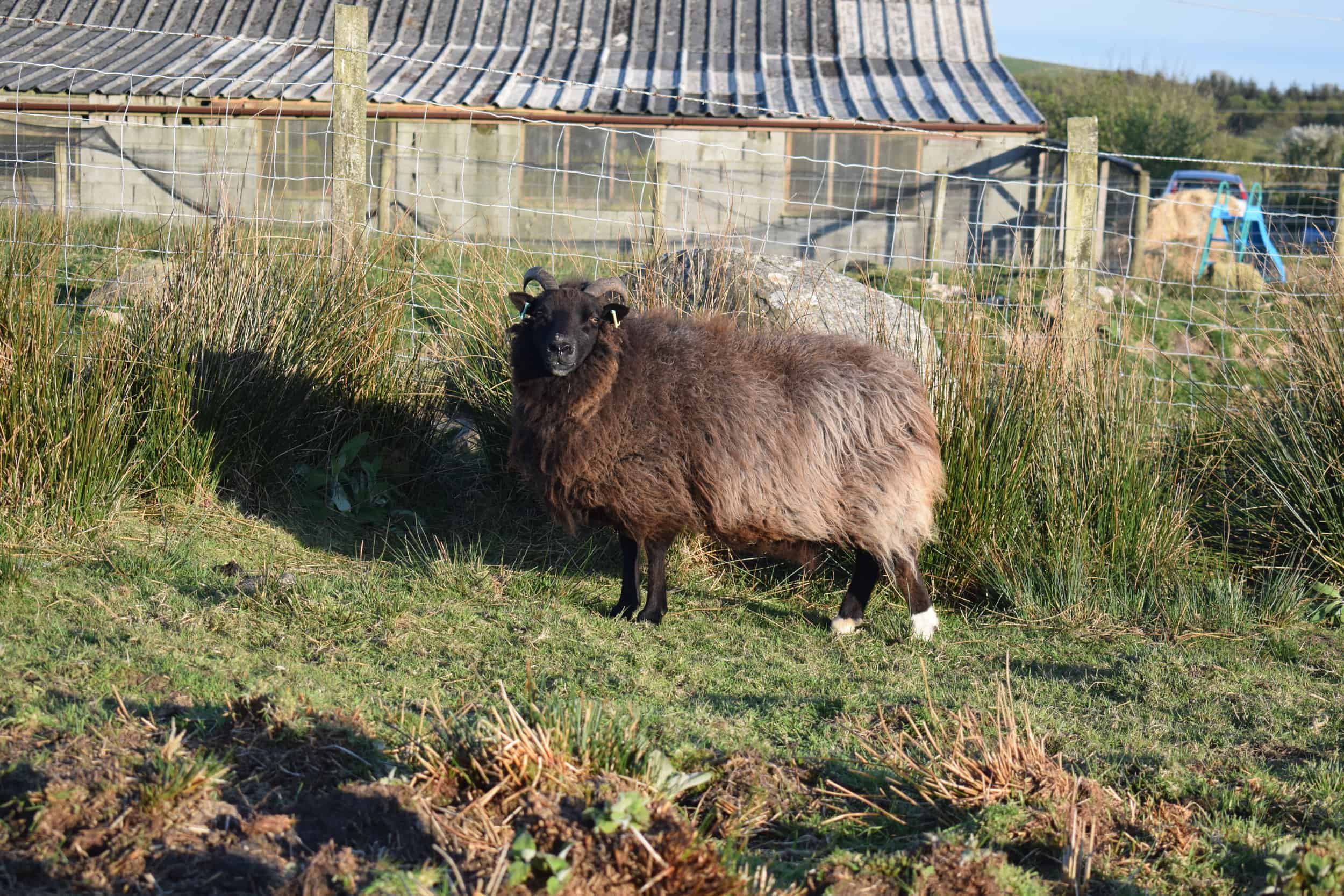 Magic sunset sheep jacob cross shetland magical patchwork sheep
