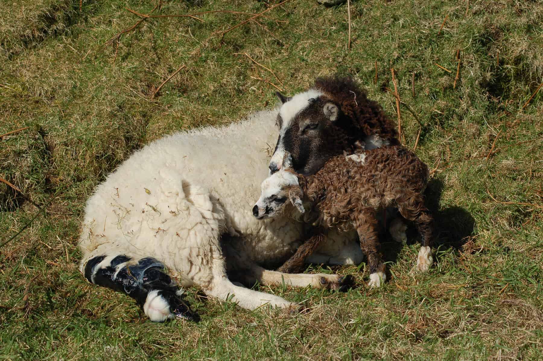 patchwork sheep soay cross shetland spotted ewe Fern newborn lambs