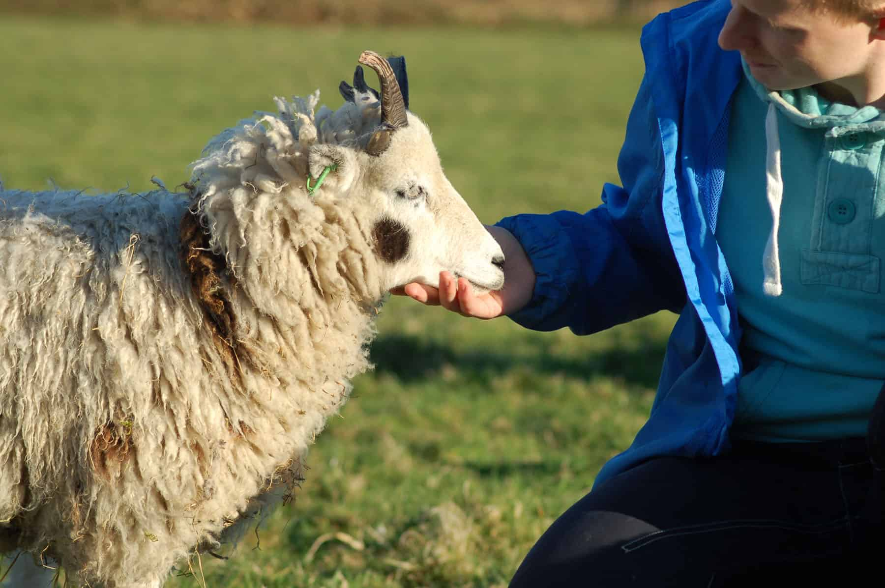 Patch soay cross jacob sheep miniature patchwork sheep 2