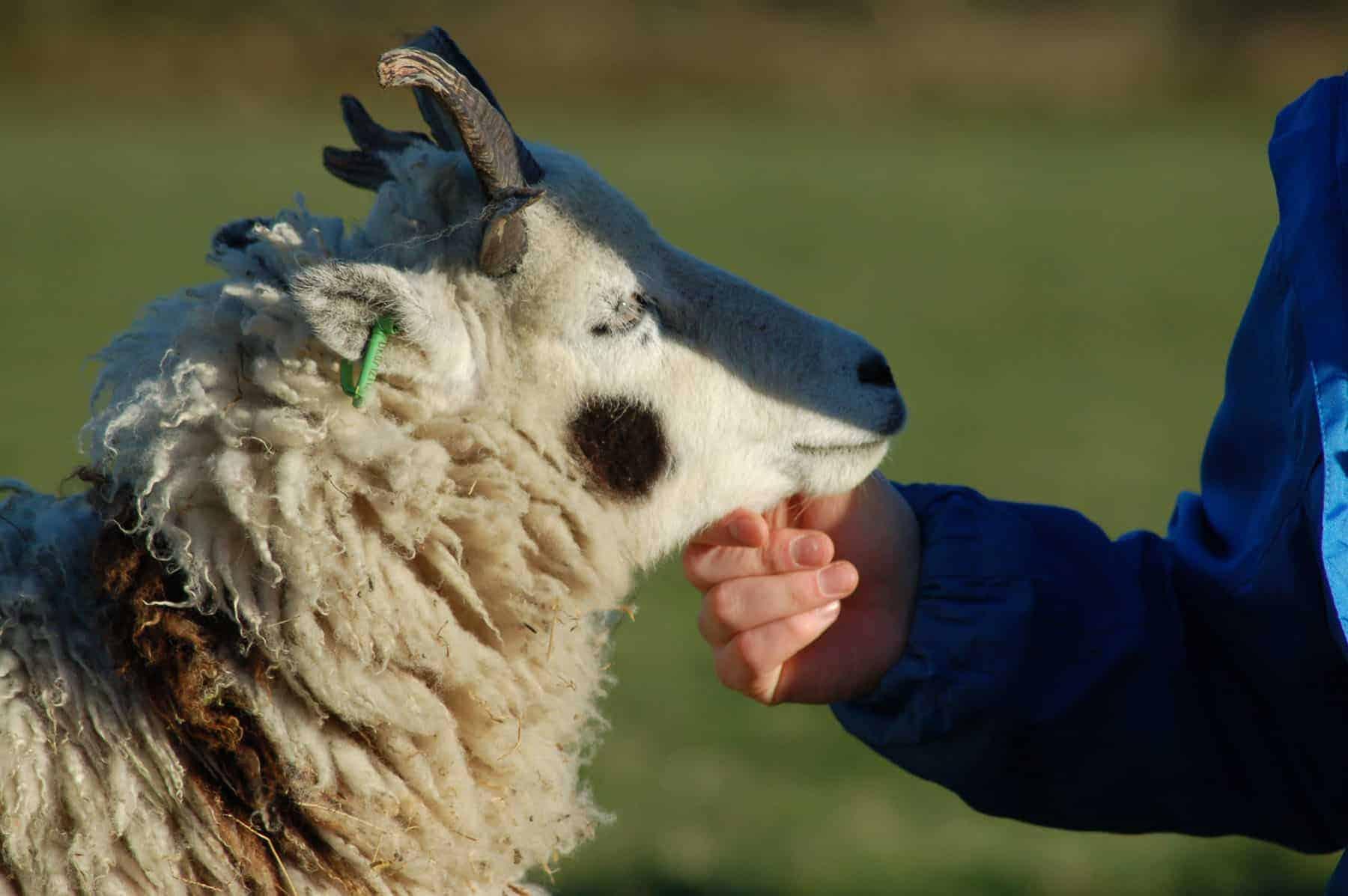 Patch soay cross jacob sheep miniature patchwork sheep