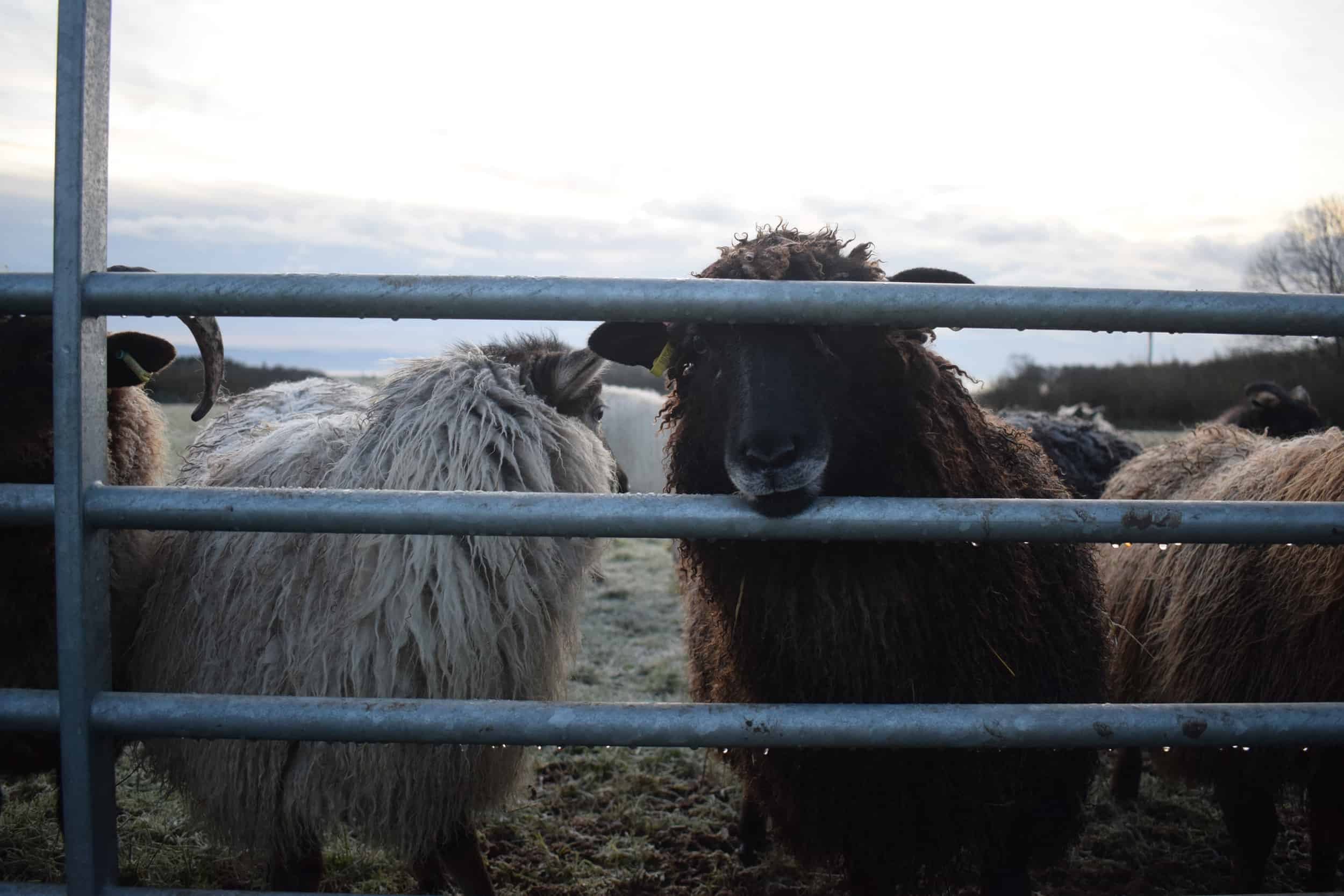 Jasmine longwool lamb races coloured leicester longwool shetland gotland sheep ewe lamb kind fibre sheep frendly ethical wool products cross winter