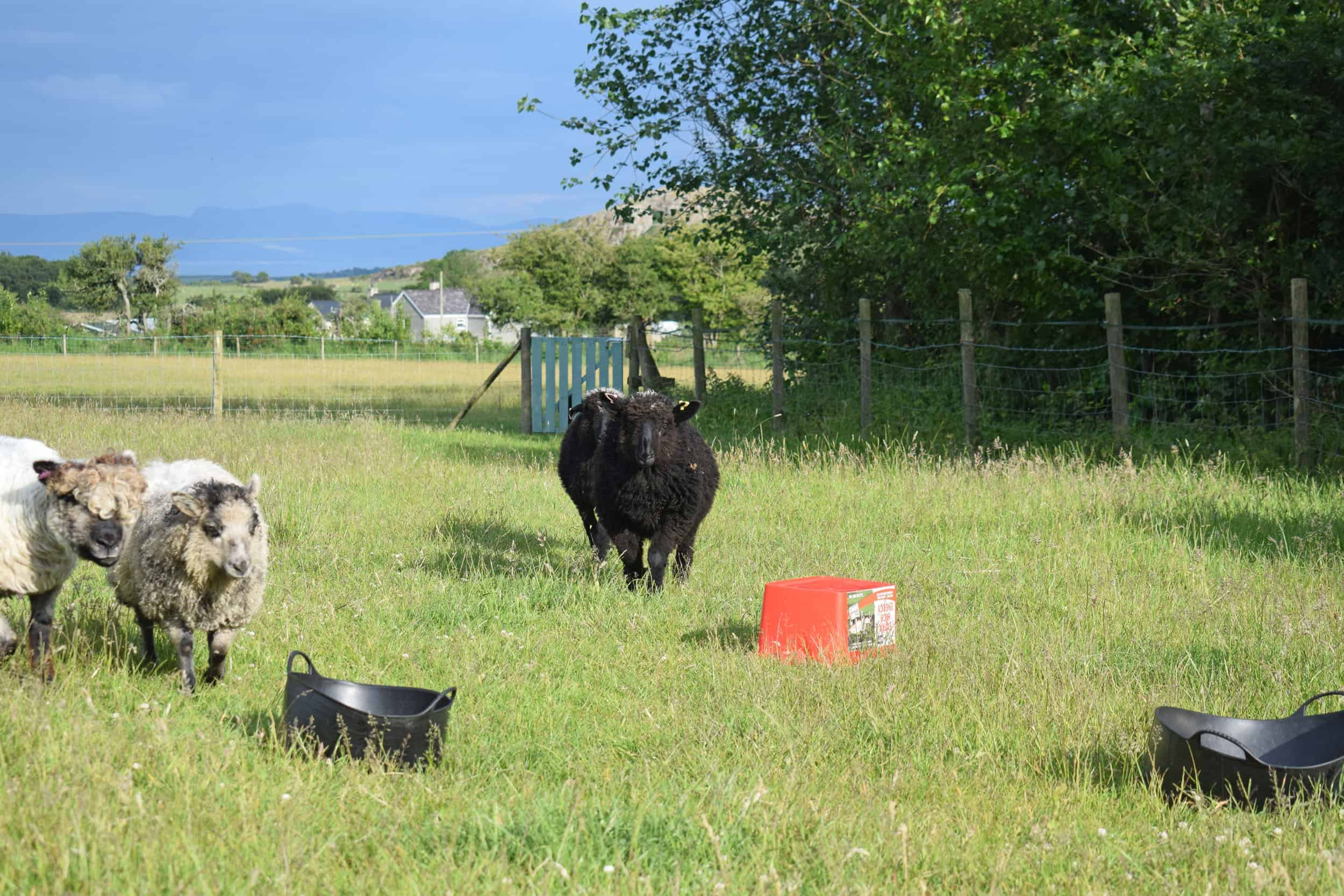Griffin patchwork sheep sustainable sheep black sheep lamb valais spitti blacknose cross bfl blue face leicester ram lamb black
