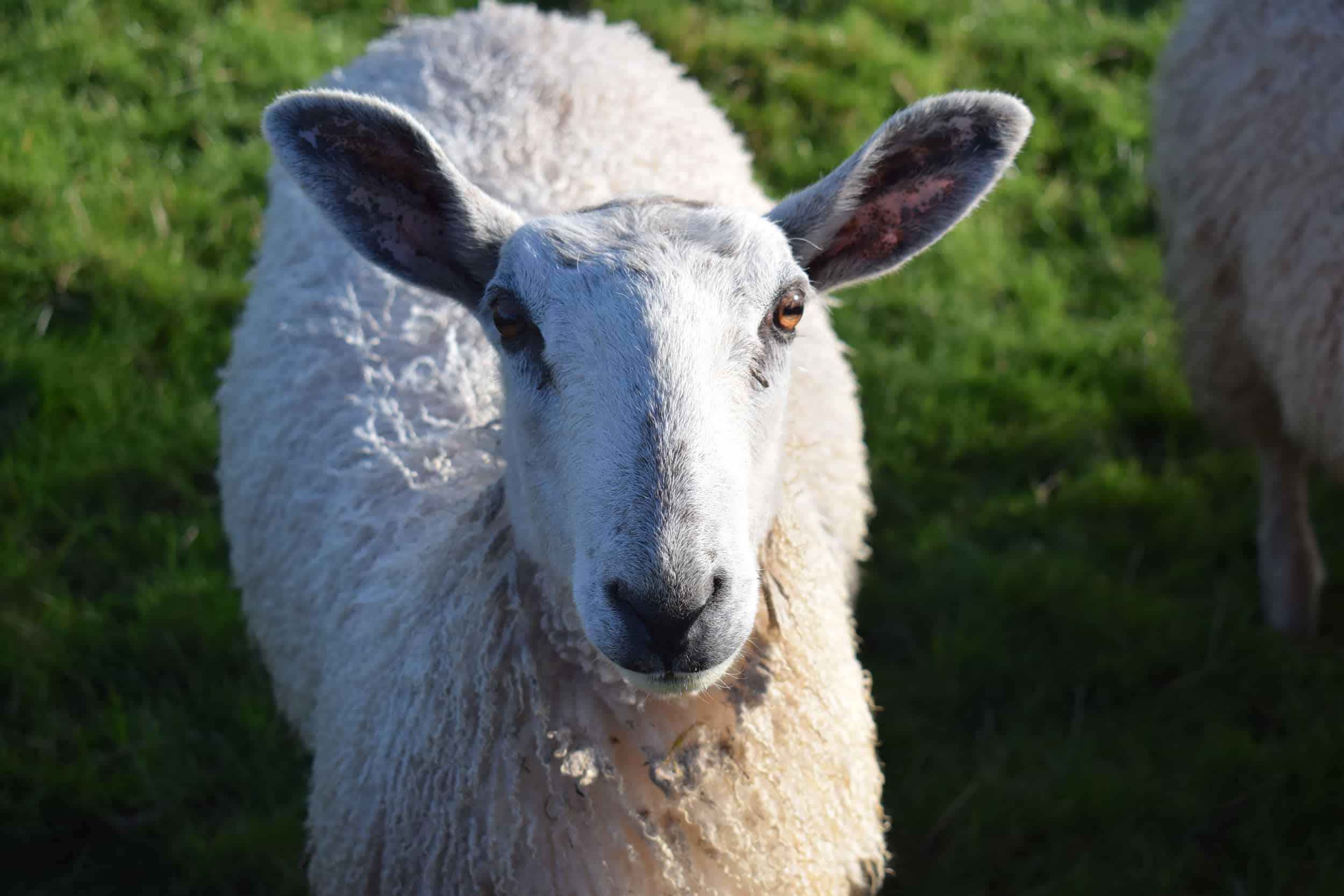 Lily bfl blueface leicester sheep ewe lamb pet bottle baby lamb