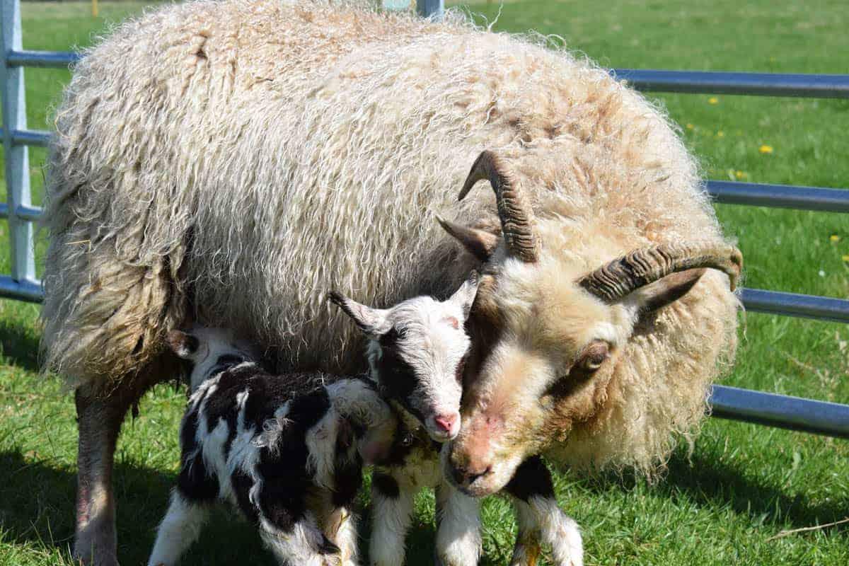 Martha newborn lambs mumpatchwork sheep moorit white spotted brown primitive sheep crossbreed