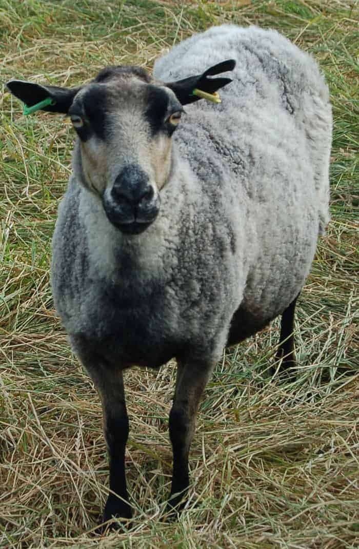 Sandy badgerface shetland jacob sheep katmoget