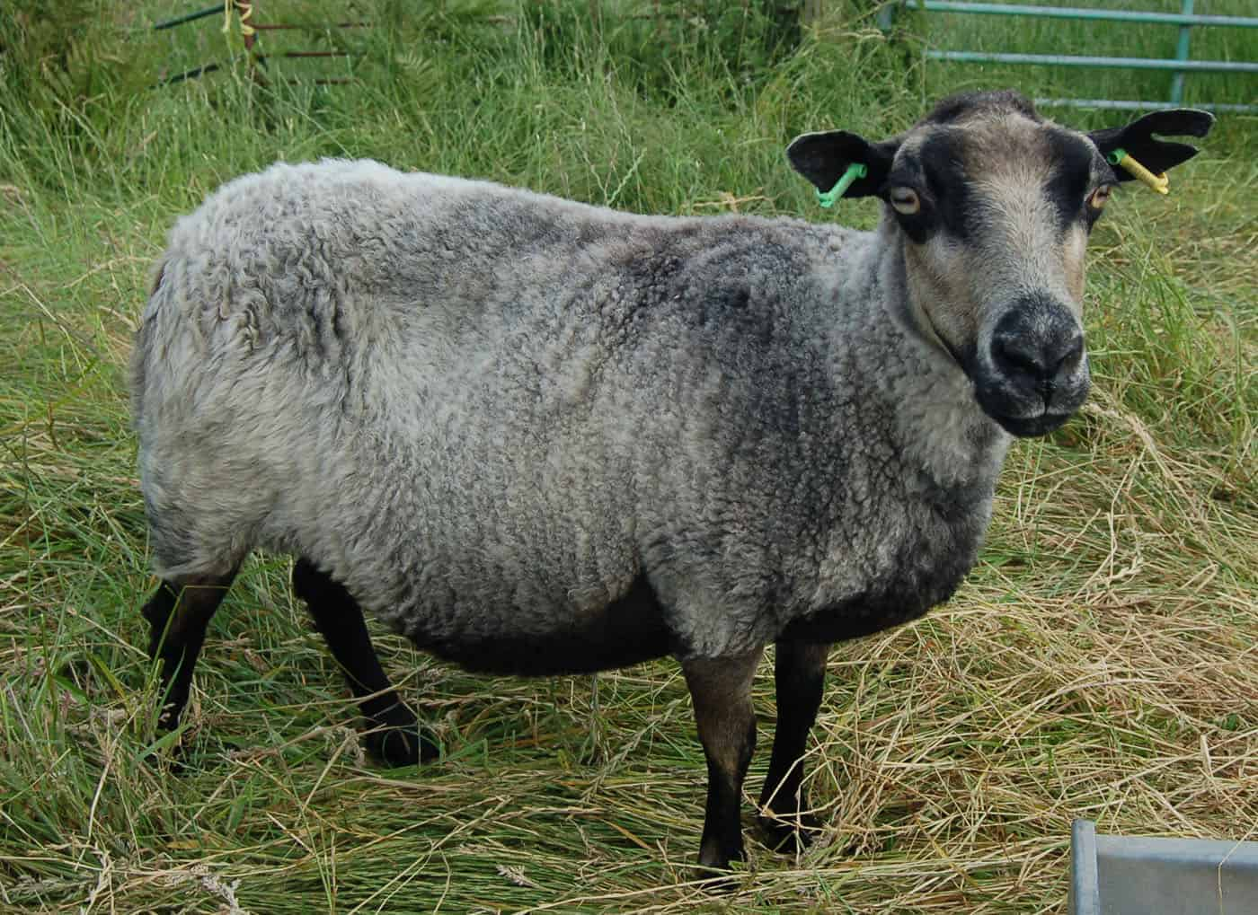Sandy badgerface shetland jacob sheep grey wool