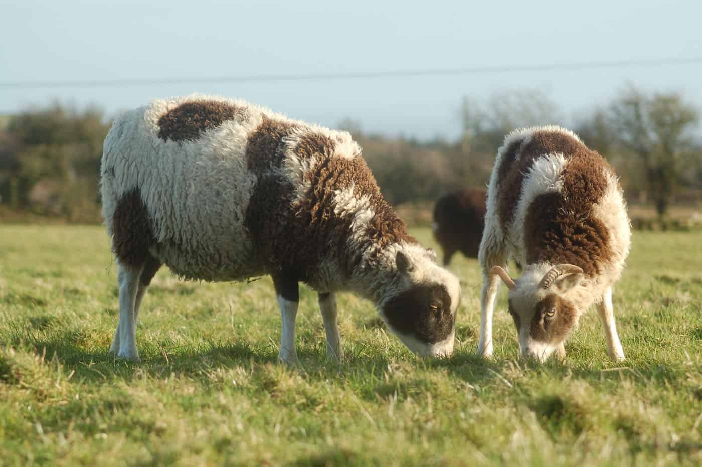 patchwork sheep soay cross shetland spotted sheep Sweep