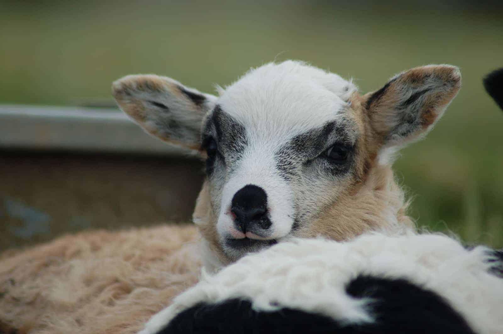 patchwork sheep smudge cute lamb golden soay cross shetland jacob sheep