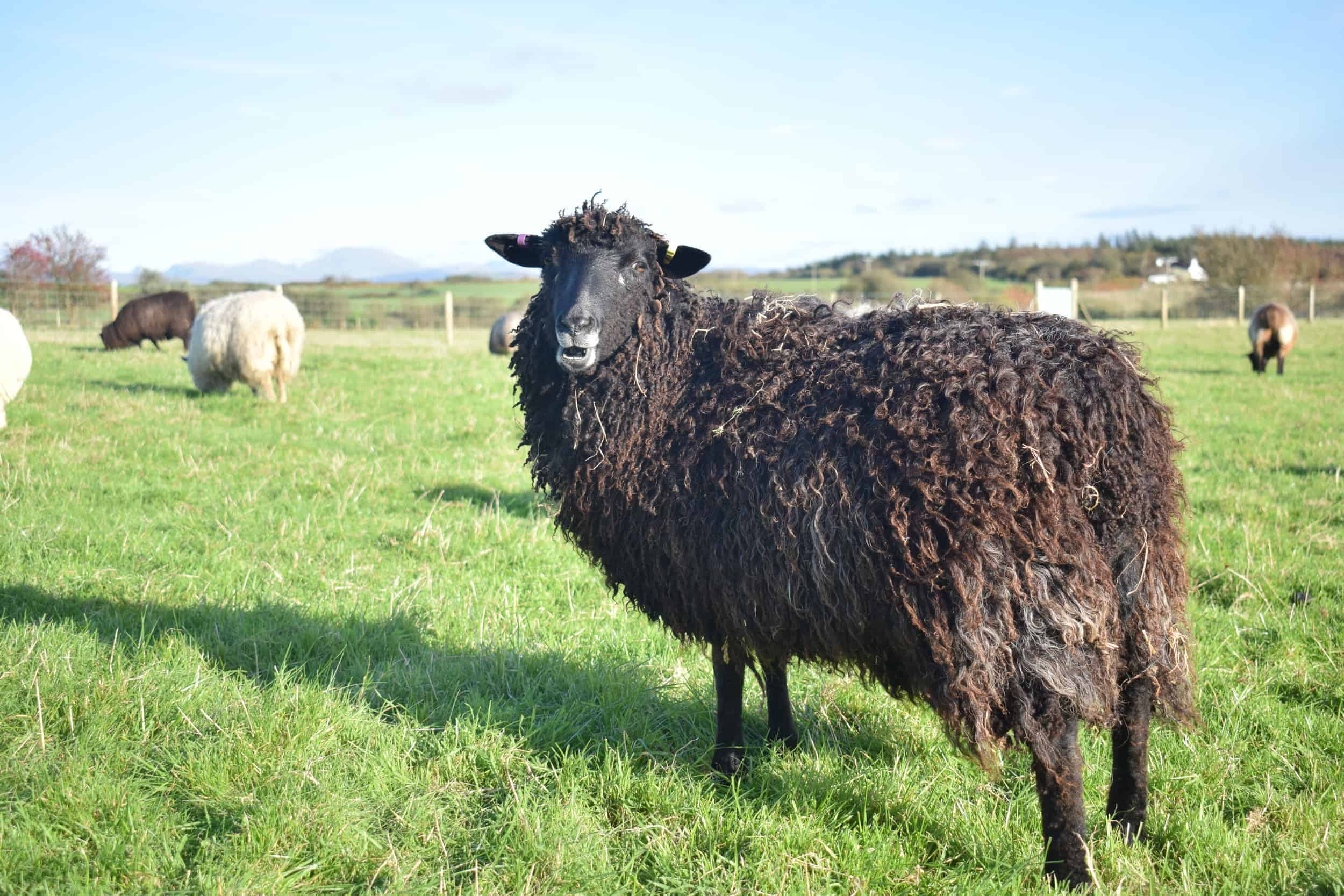 Tatty lamb races coloured leicester longwool shetland gotland sheep ewe lamb kind fibre sheep frendly ethical wool products cross 5