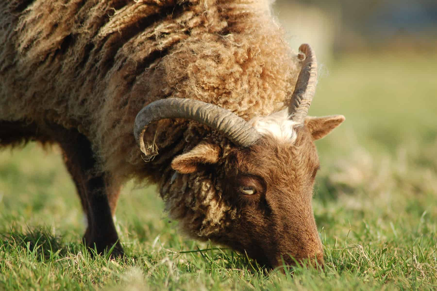 Harriet moorit brown sheep jacob cross shetland patchwork sheep