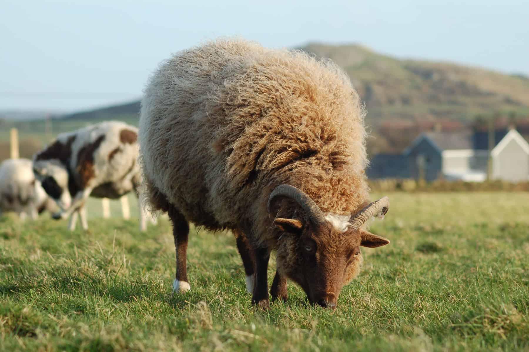 Harriet moorit brown sheep jacob cross shetland ewe
