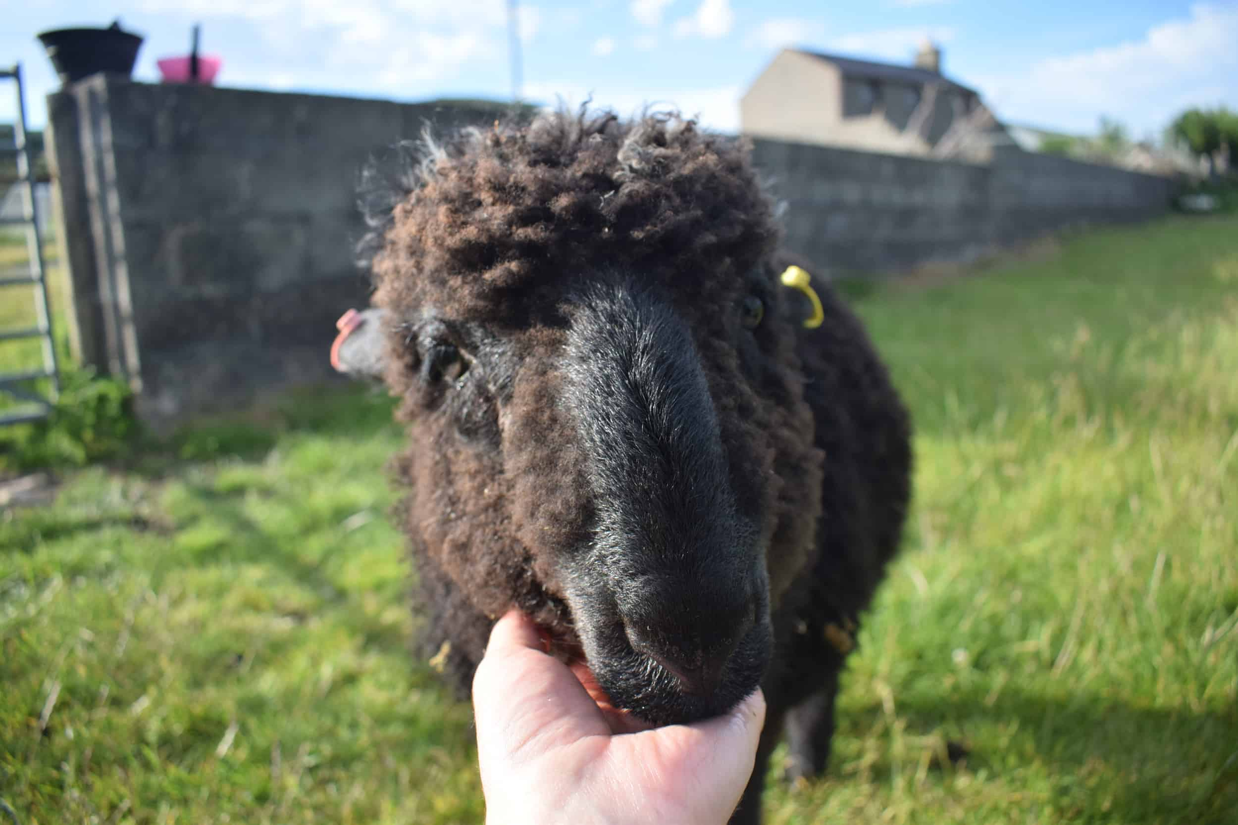 Griffin patchwork sheep pet black sheep lamb valais spitti blacknose cross bfl blue face leicester ram lamb black