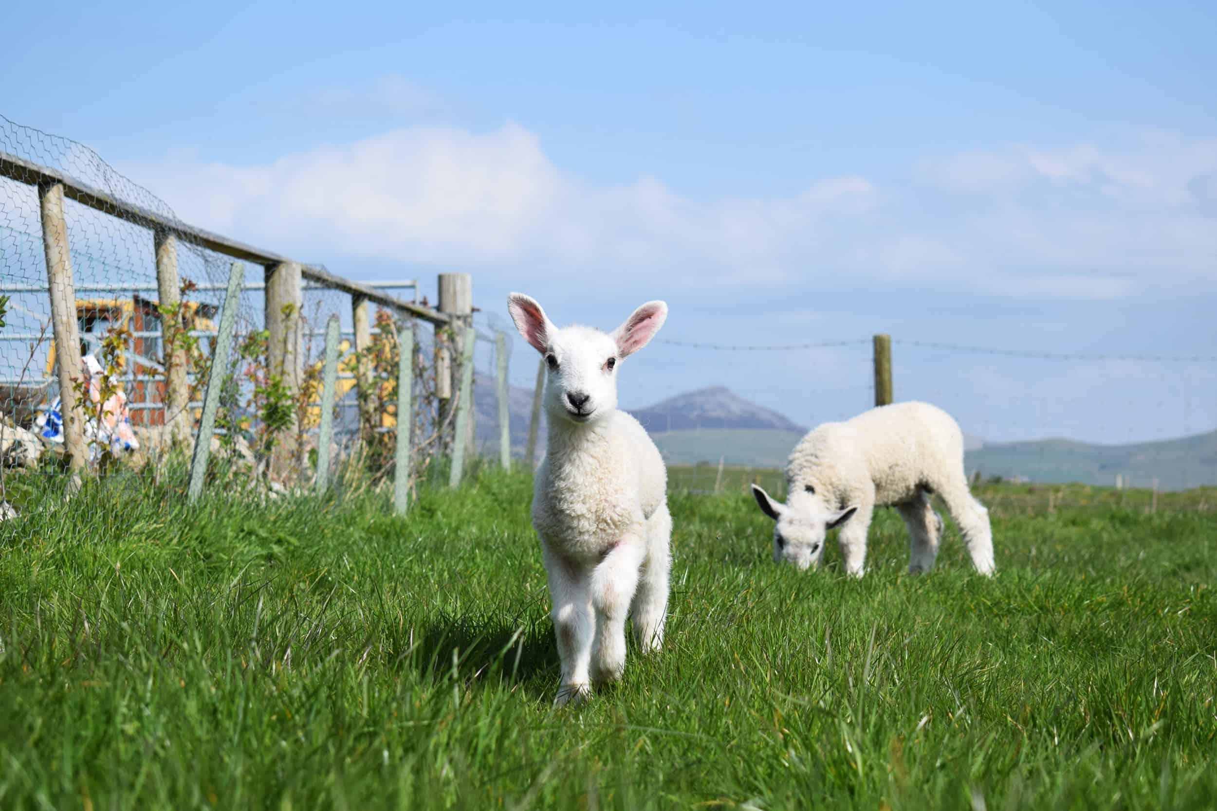 Lily lambs bfl blueface leicester sheep ewe lamb pet bottle baby lamb