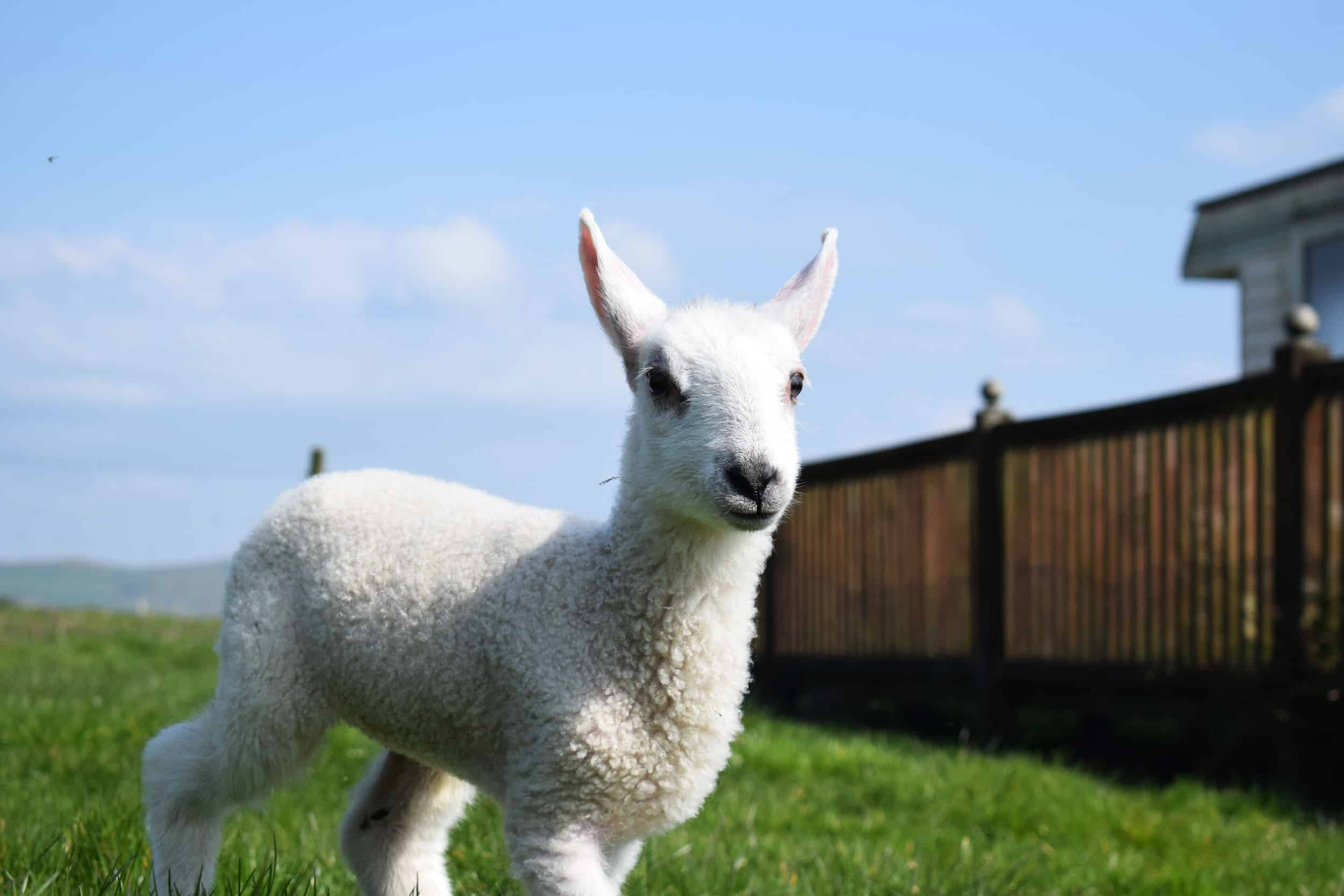 Lily farm wales bfl blueface leicester sheep ewe lamb pet bottle baby lamb