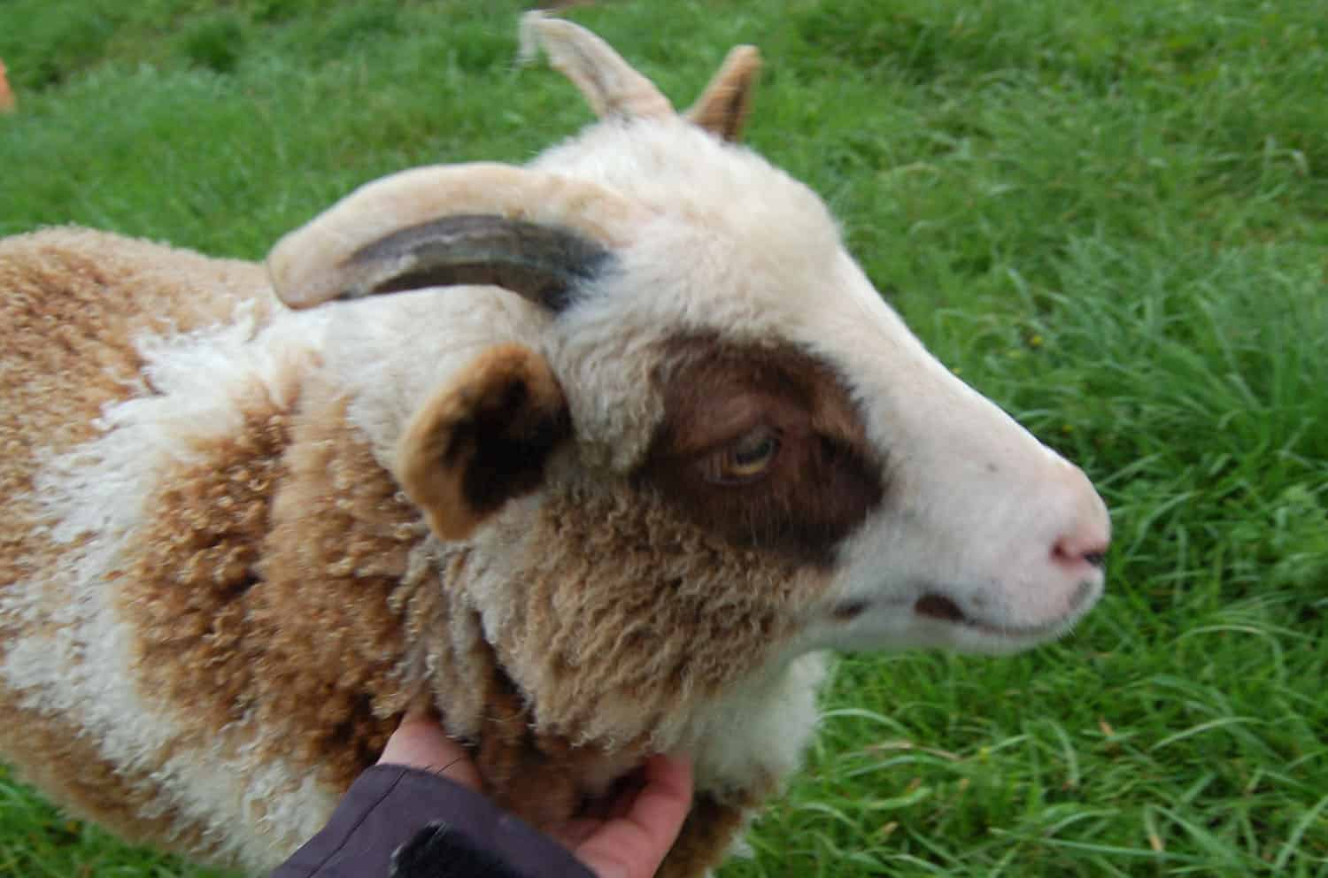 Martha lamb patchwork sheep moorit white spotted brown primitive sheep crossbreed